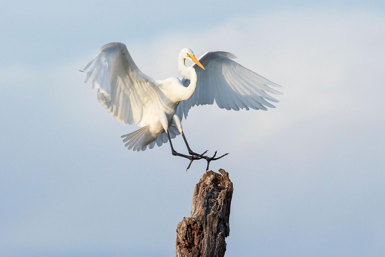 Great Egret. Veryl Witmer/Audubon Photography Awards