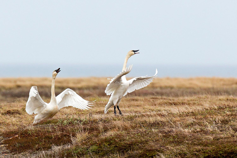 Tundra Swans. William Pohley/Audubon Photography Awards