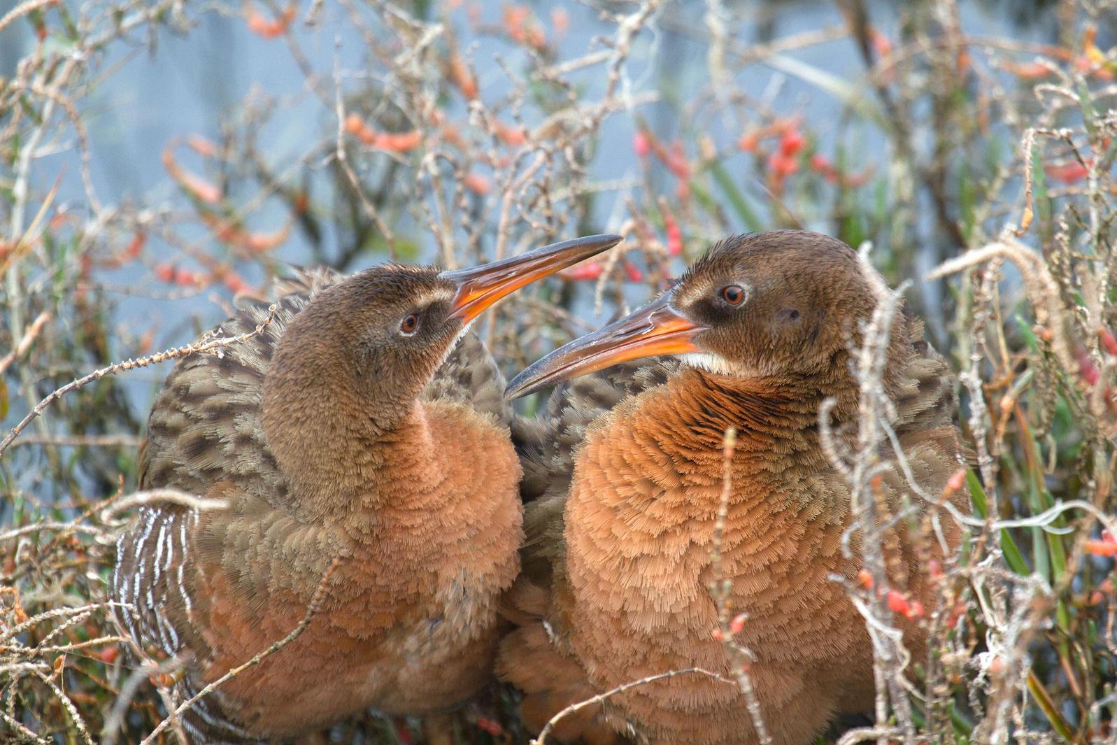 Ridgway's Rails. Rick Lewis/Audubon Photography Awards