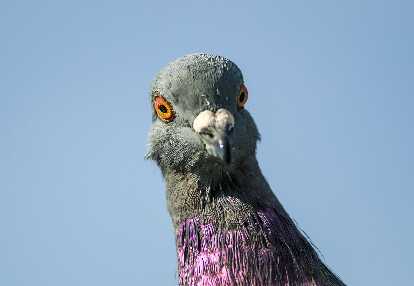 Does this Rock Pigeon/Rock Dove not deserve a smidge of respect? Laura Perrotta/Audubon Photography Awards