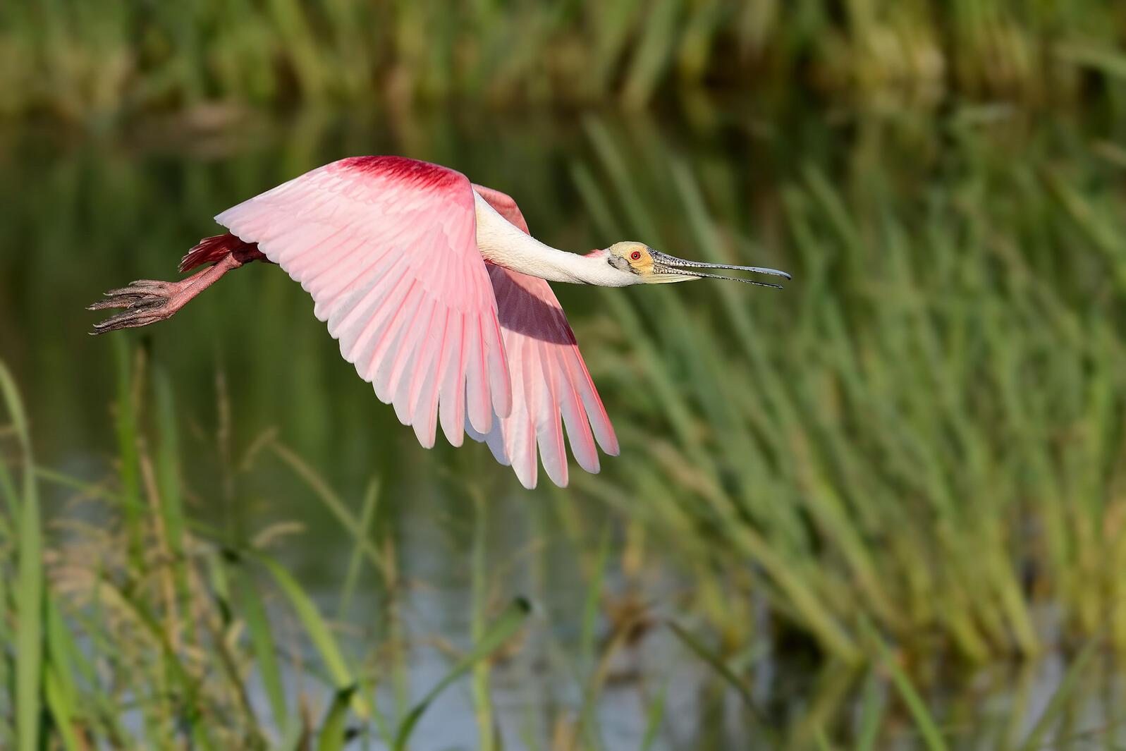 Roseate Spoonbill. Bill Dix/Audubon Photography Awards