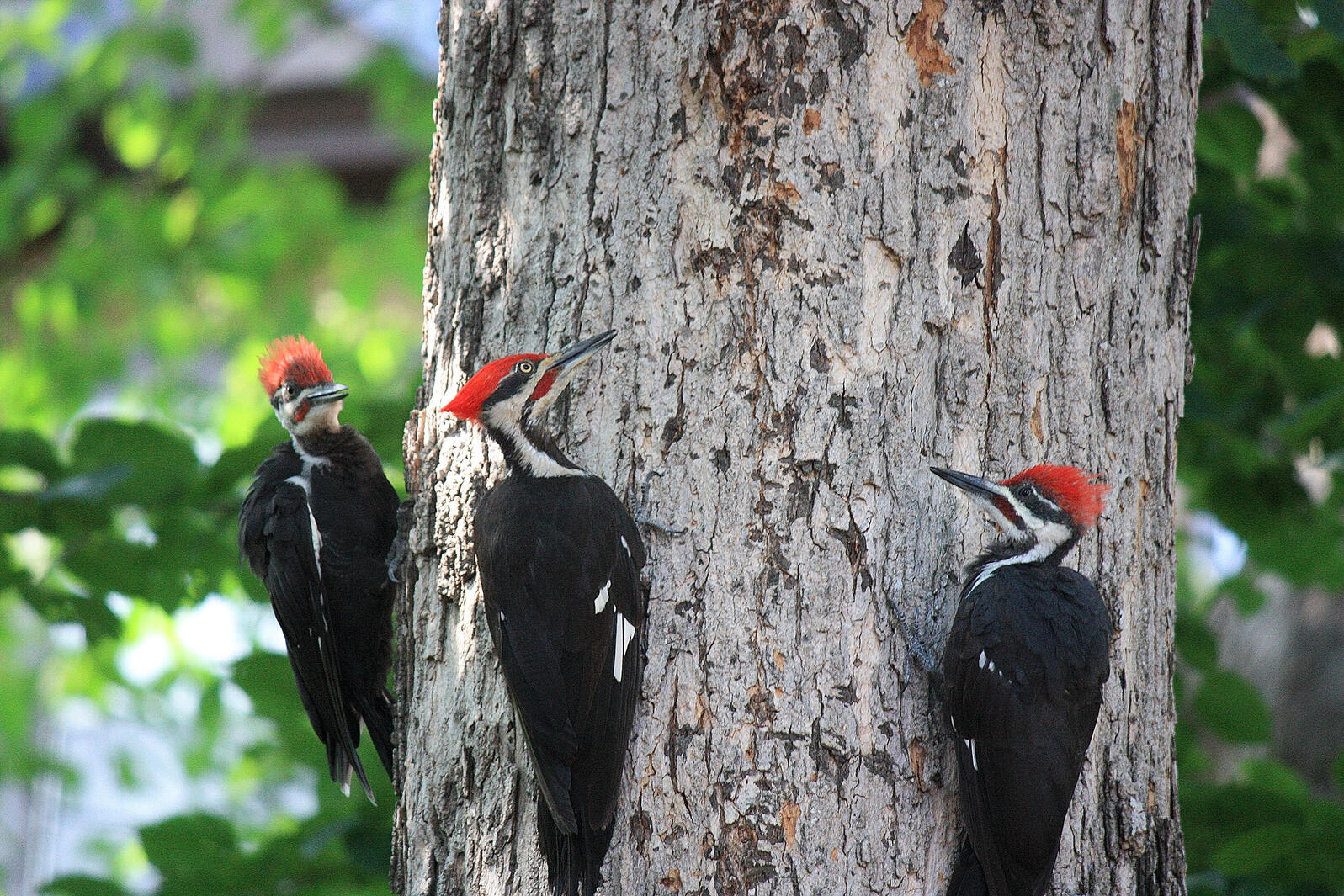 Pileated Woodpeckers use their long, sharp bills to excavate rectangular holes in trees as they hunt for ants other insects. Kendall Ronning/Audubon Photography Awards
