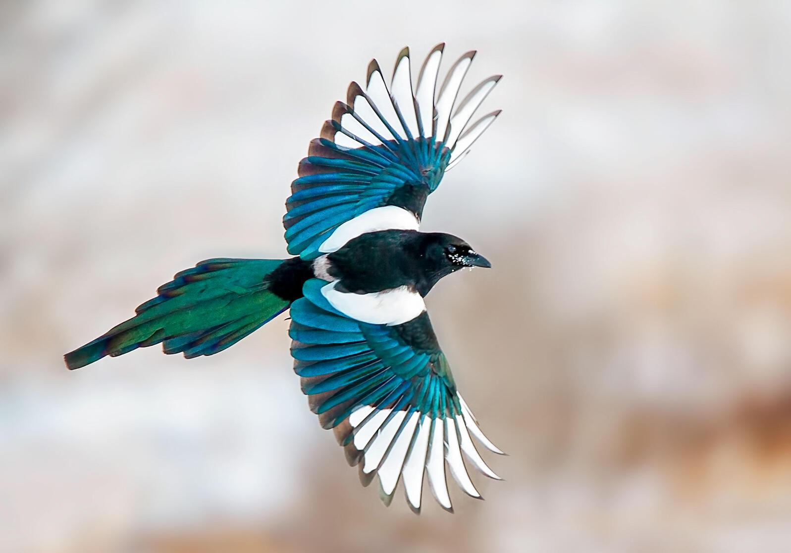 Black-billed Magpie. Amanda Ubell/Audubon Photography Awards