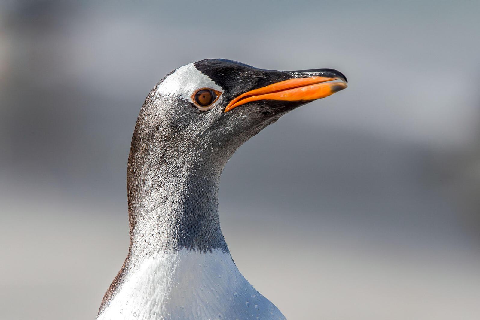 Gentoo Penguin. Mark Seth Lender/Audubon Photography Awards