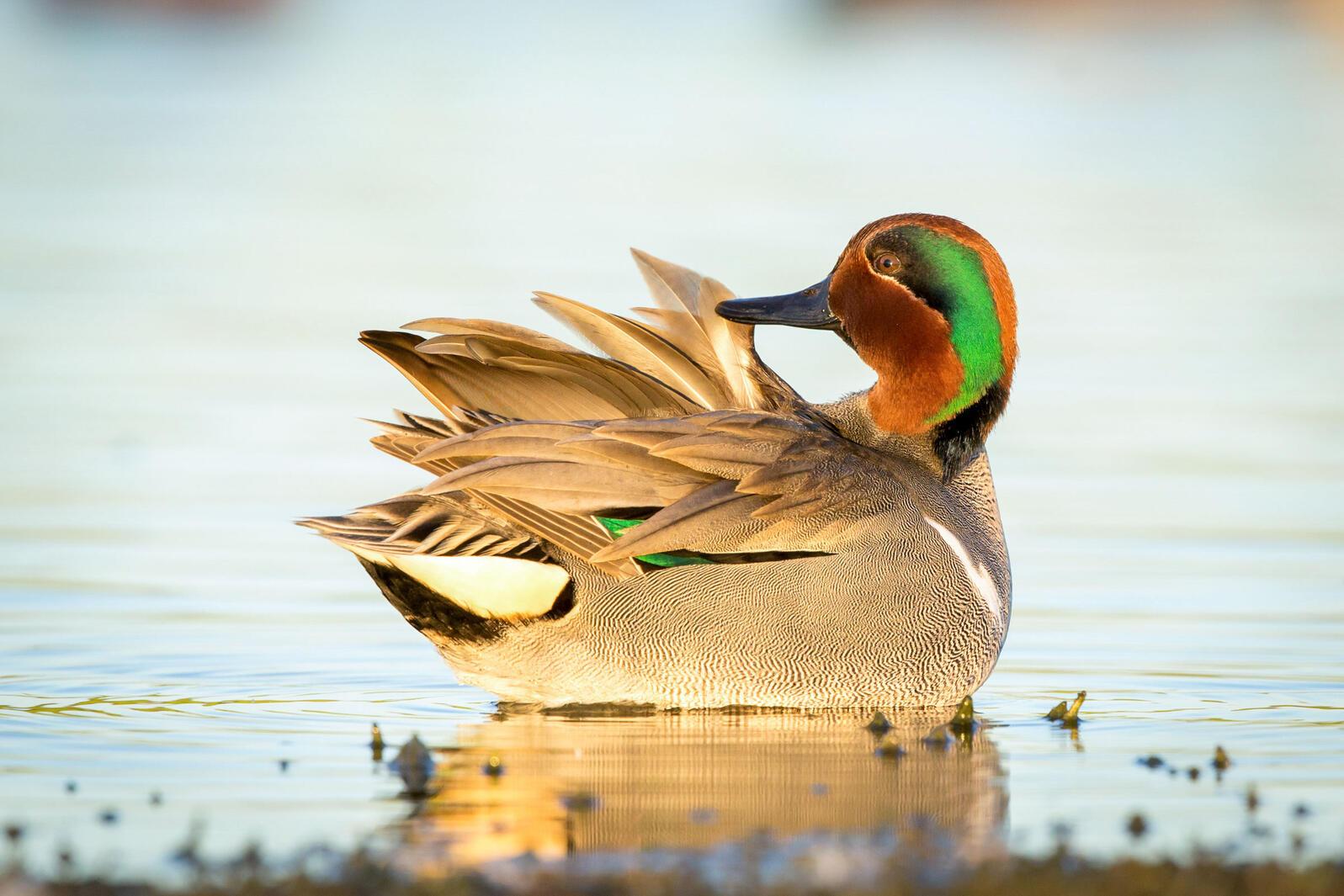 Green-winged Teal. Sylvia Hunt/Audubon Photography Awards