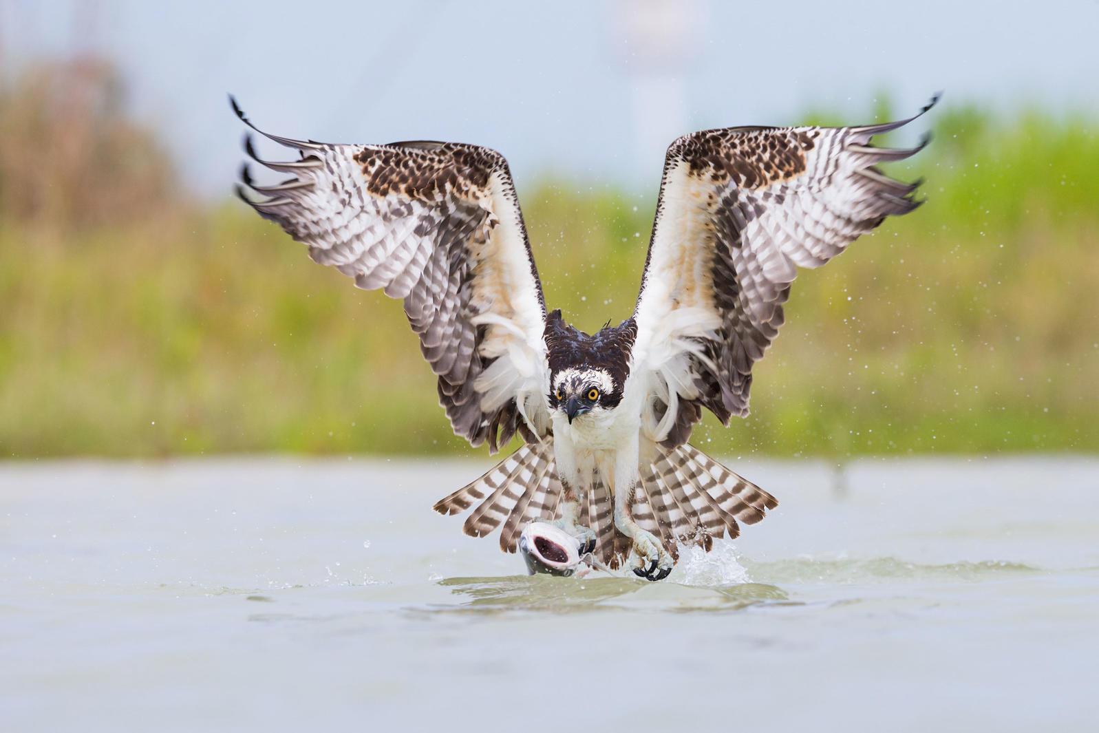 Osprey. Robert Kimbrell/Audubon Photography Awards