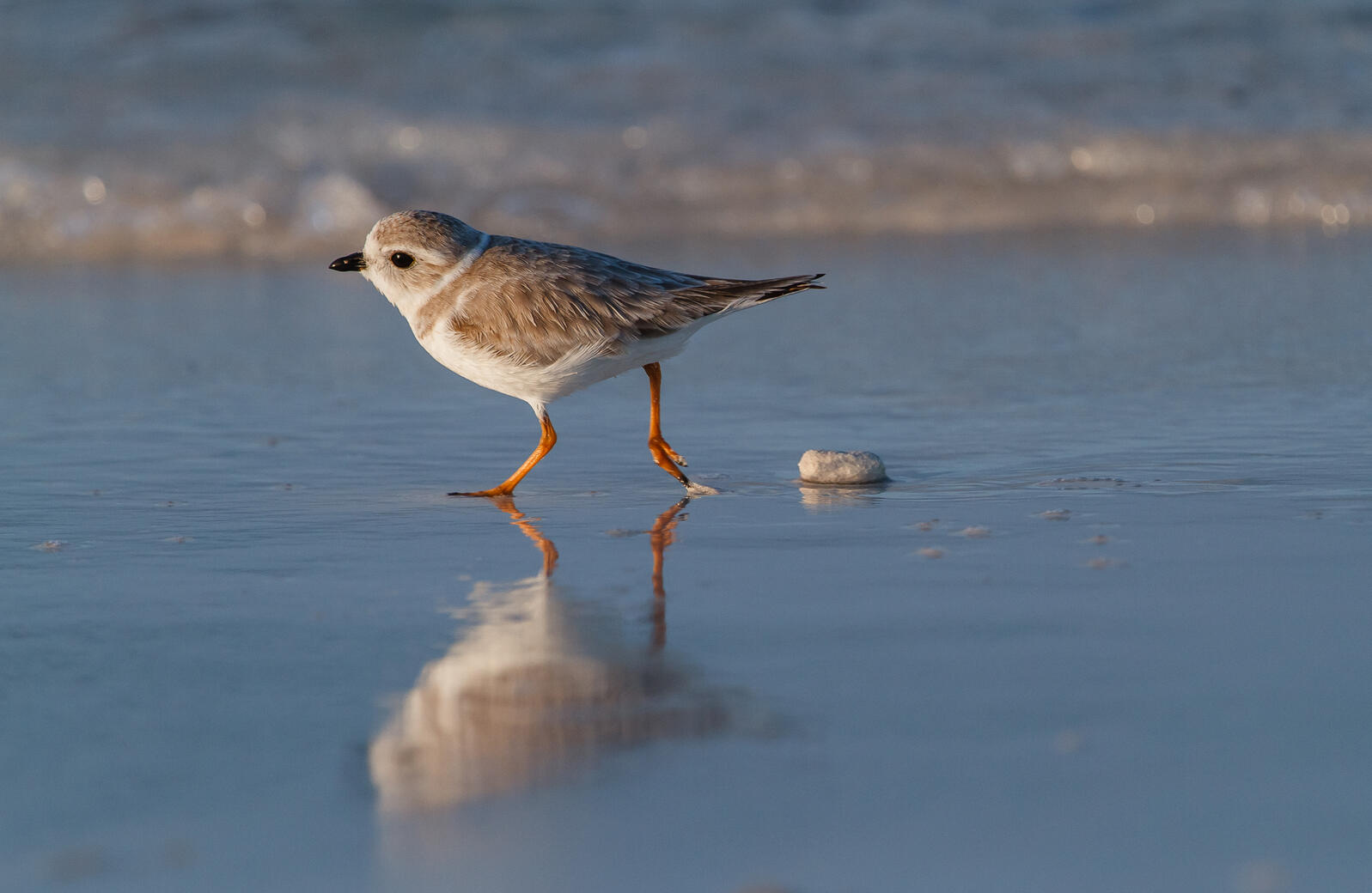 Pipping Plover. Natural infrastructure helps protect coastal habitats for birds like the Piping Plover. Lorraine Minns/Audubon Photography Awards
