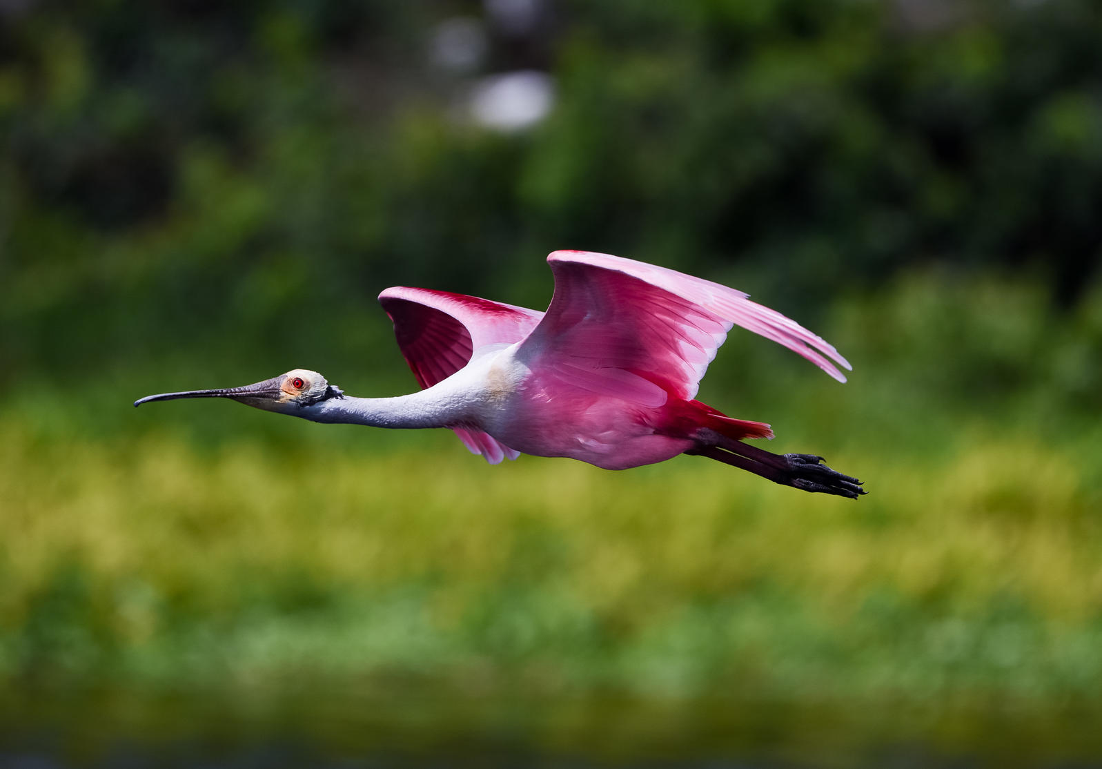 Roseate Spoonbill in flight over water. LWCF has protected Important Birds Areas and helped to restore the Everglades for the Roseate Spoonbill. Robert Cook/Audubon Photography Awards