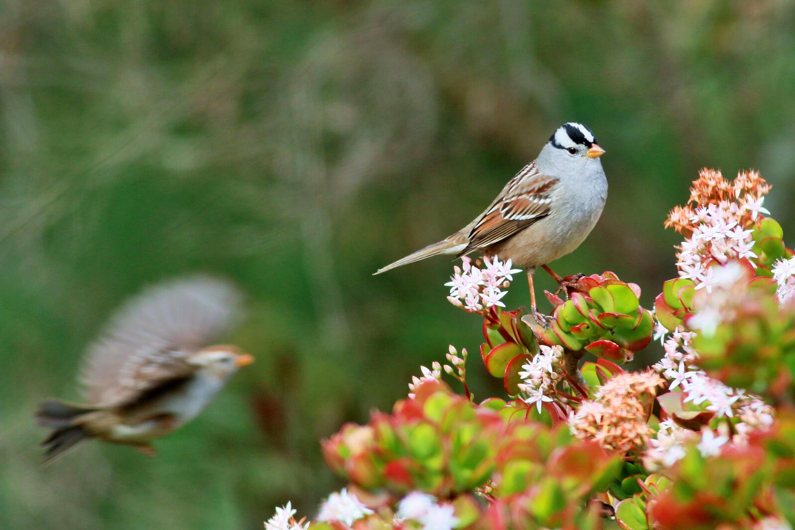 White-crowned Sparrows. White-crowned Sparrows. Terry Rodgers/Audubon Photography Awards