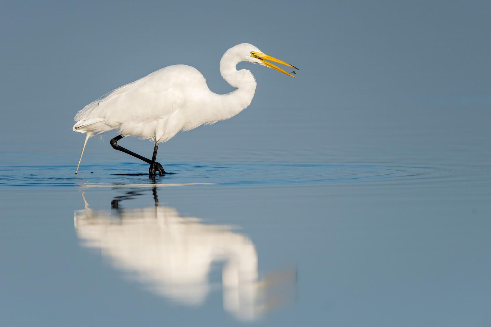 Great Egret. Melissa Rowell/Audubon Photography Awards