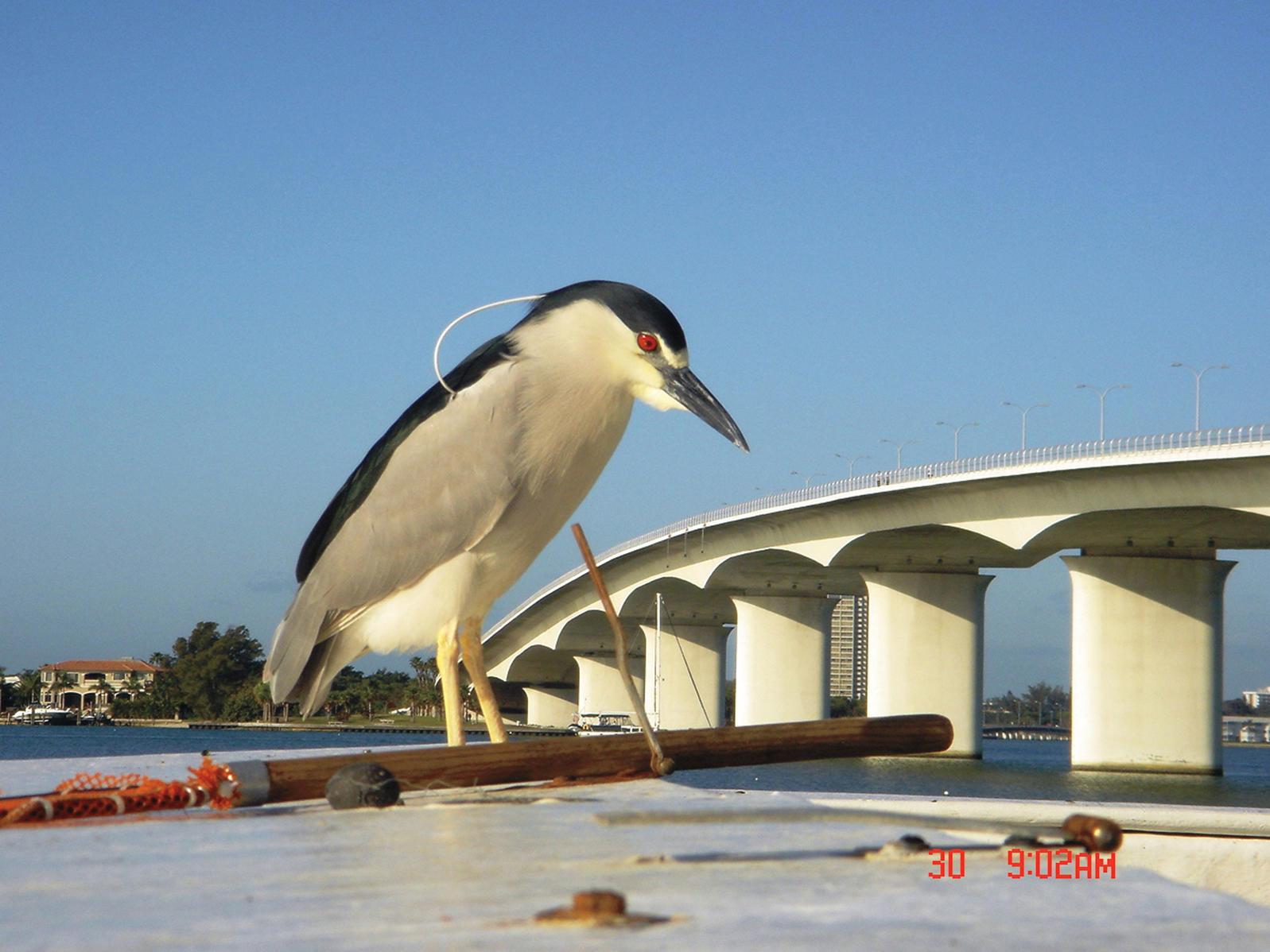 ¿Este martinete común es más grande que un puente? La perspectiva cambia todo cuando se trata de avistar aves.