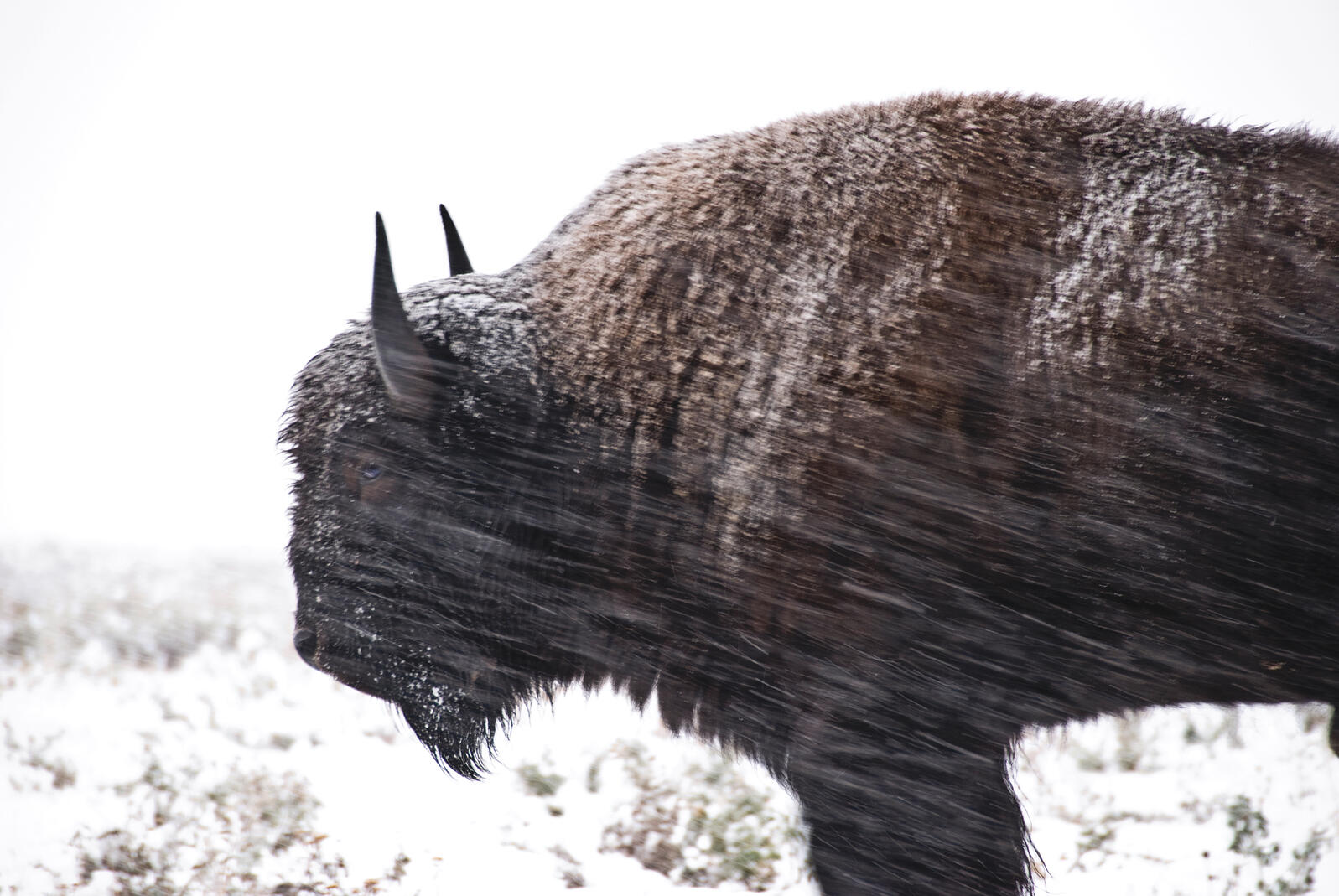 American bison National Geographic Stock