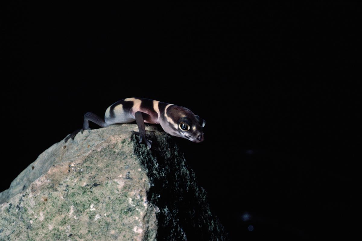 Western banded gecko. Photograph by Allen Blake Sheldon