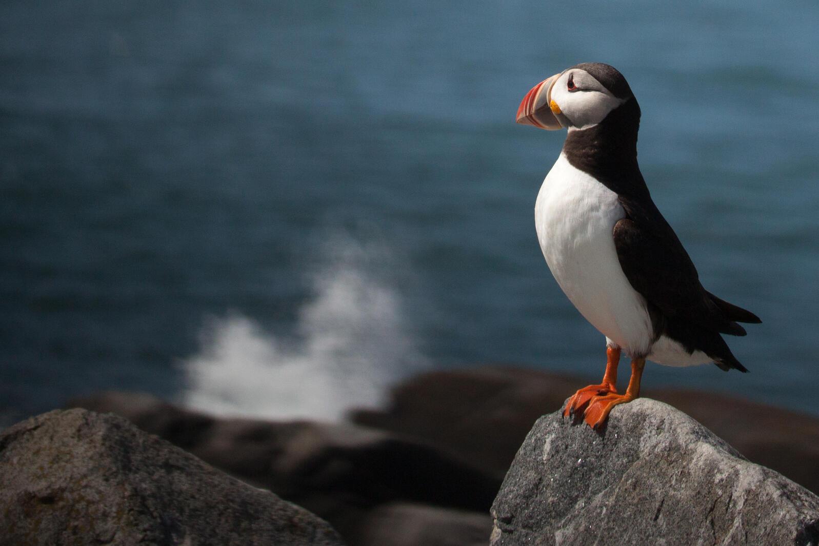 Atlantic Puffin. Photo: Francine Rattner/Audubon Photography Awards