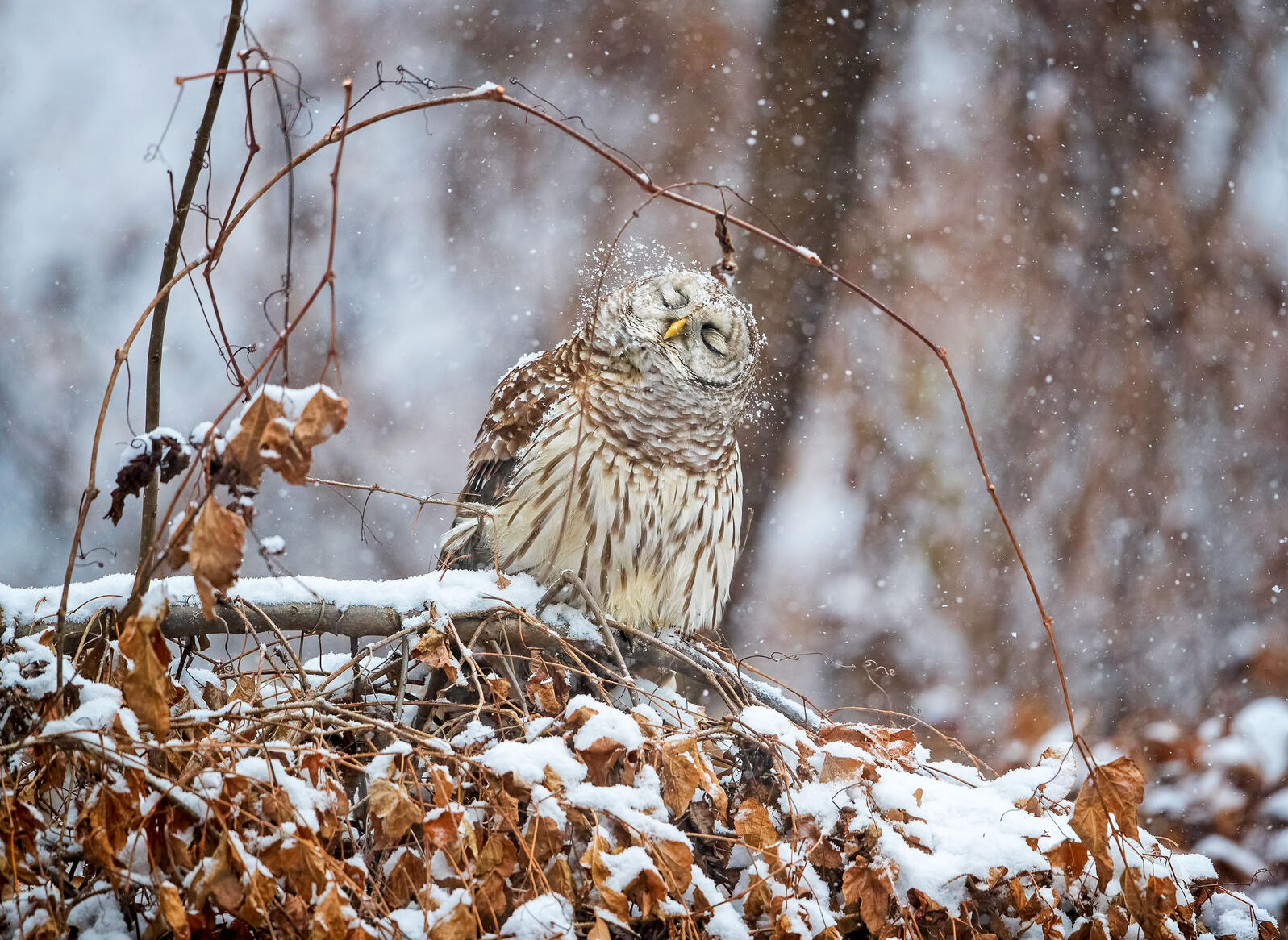 A Barred Owl shakes snow off its feathers. Scott Suriano/Audubon Photography Awards