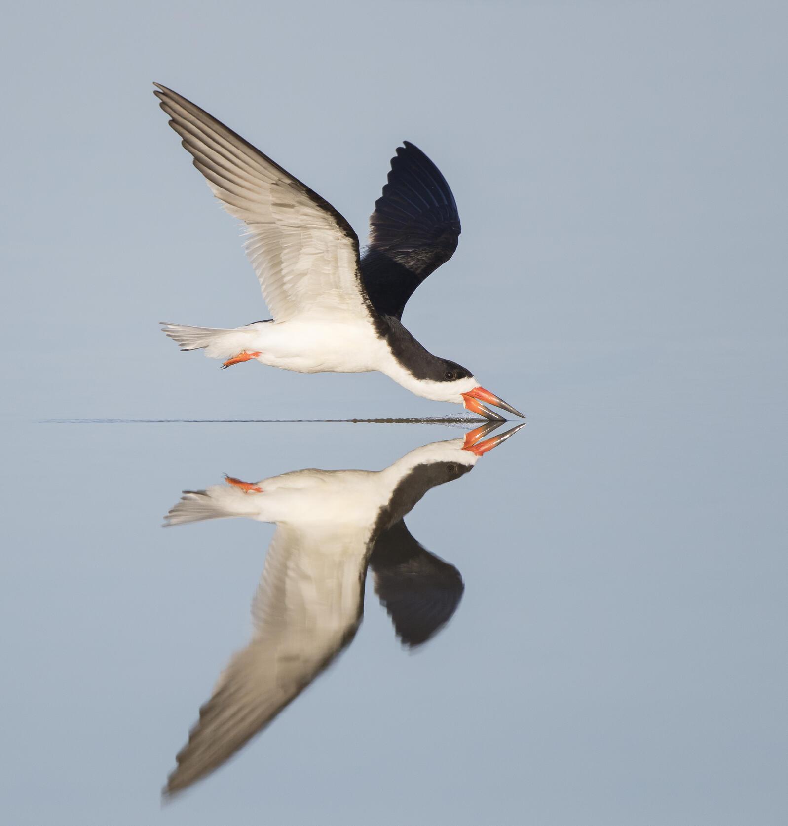 Black Skimmer. Black Skimmer. Teresa Hedden/Audubon Photography Awards