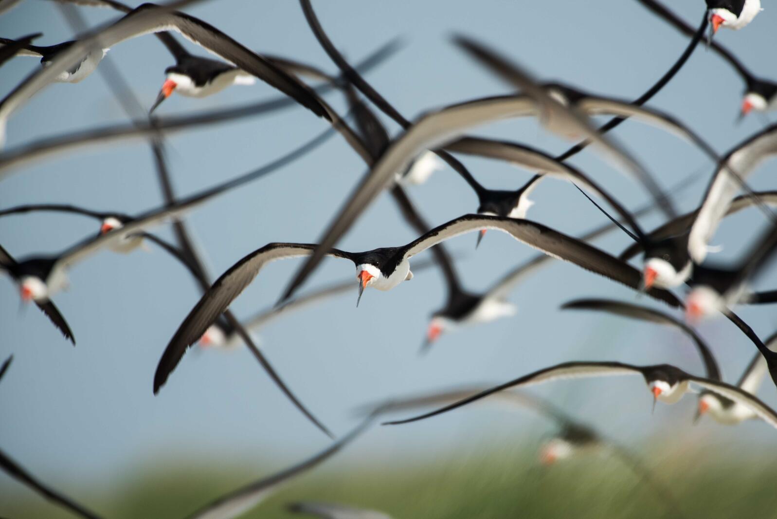 Black Skimmers. Michael Rickershauser/Audubon Photography Awards