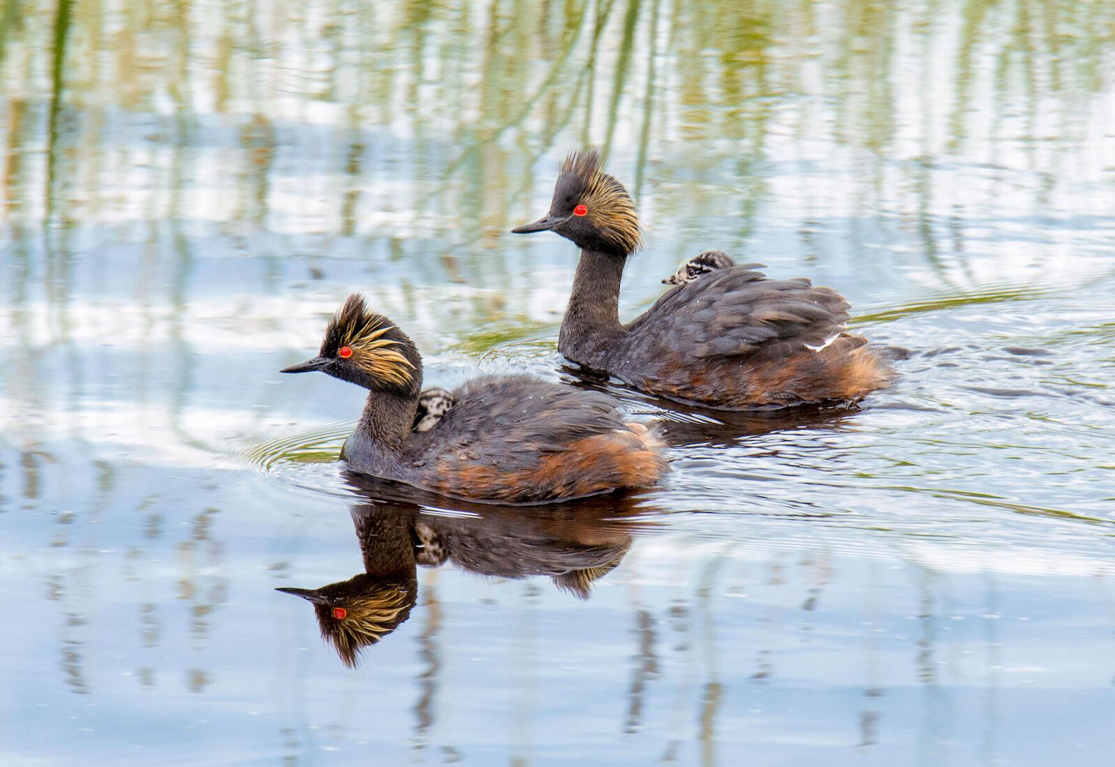 Eared Grebes. Wendy Crowe/Audubon Photography Awards