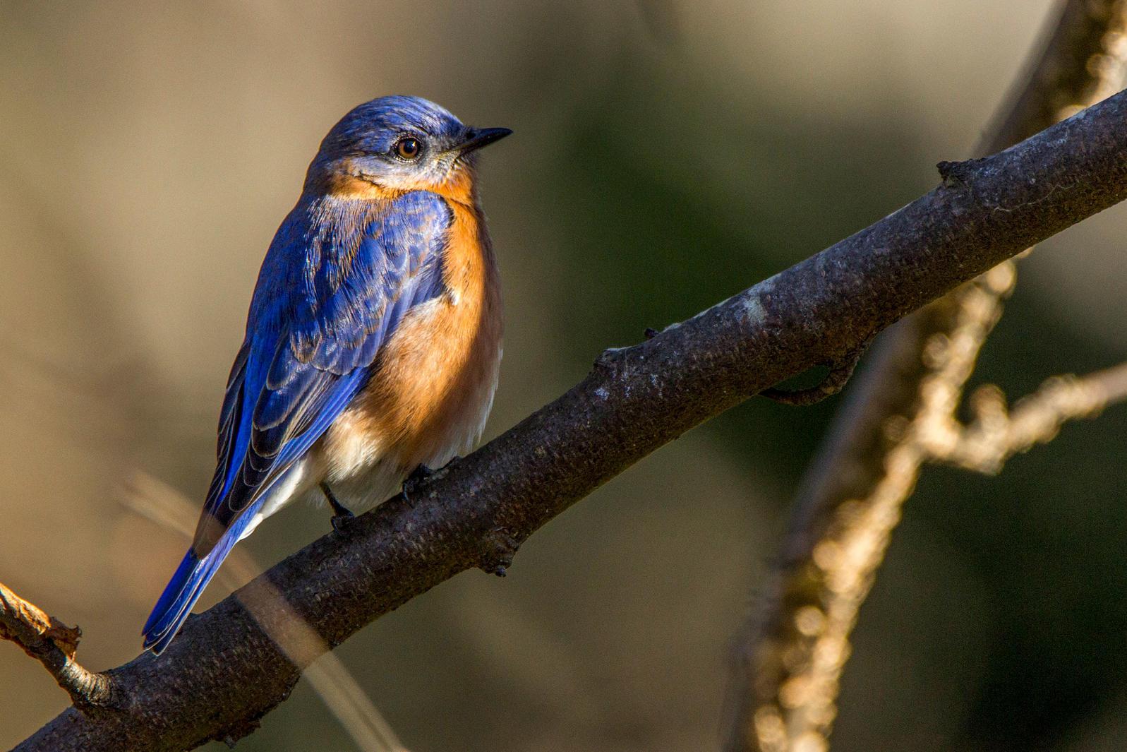 Eastern Bluebird. Kevin Lash/Audubon Photography Awards