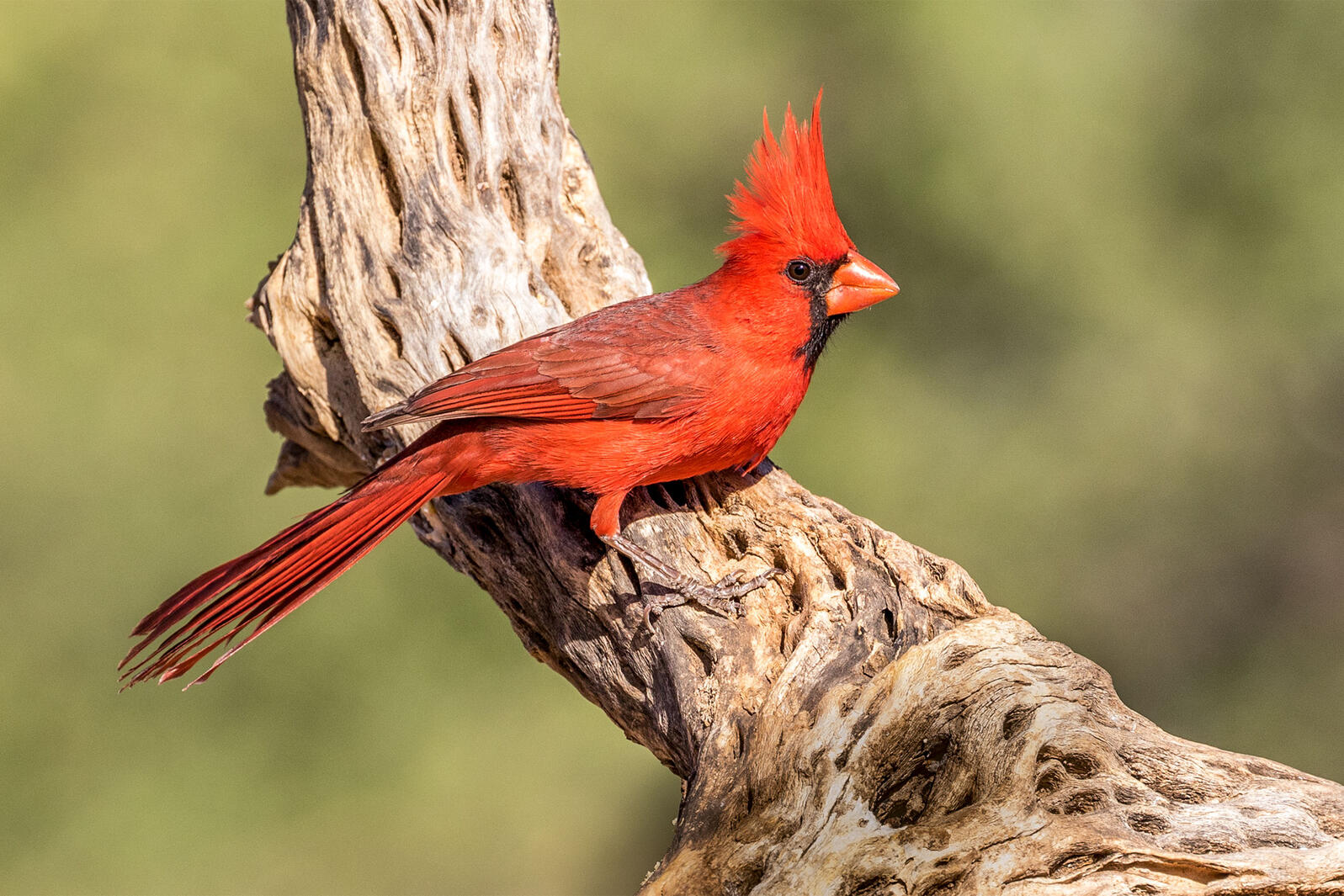 For Male Northern Cardinals, the Redder the Better