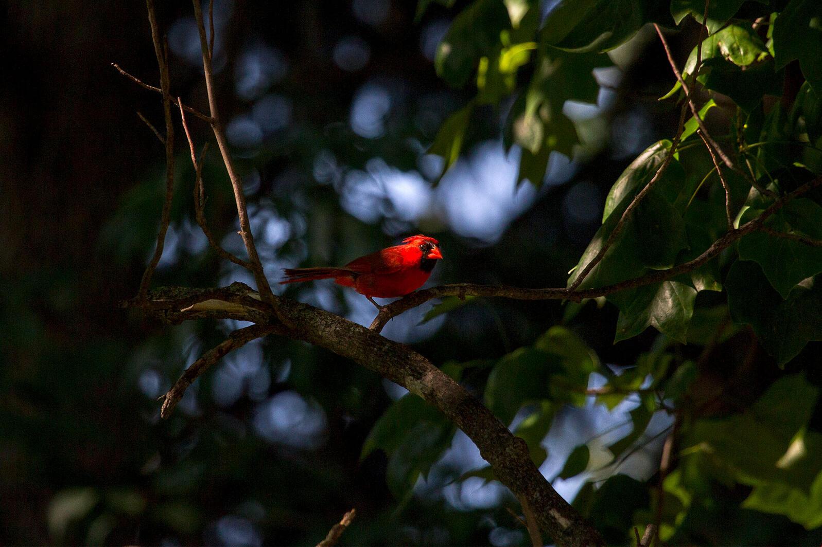 Northern Cardinal. North Joffe Nelson/Audubon Photography Awards