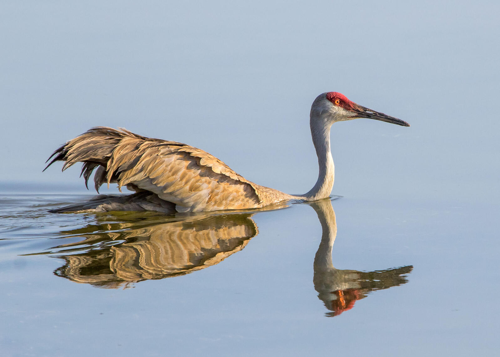 Sandhill Crane. Jean Hall/Audubon Photography Awards