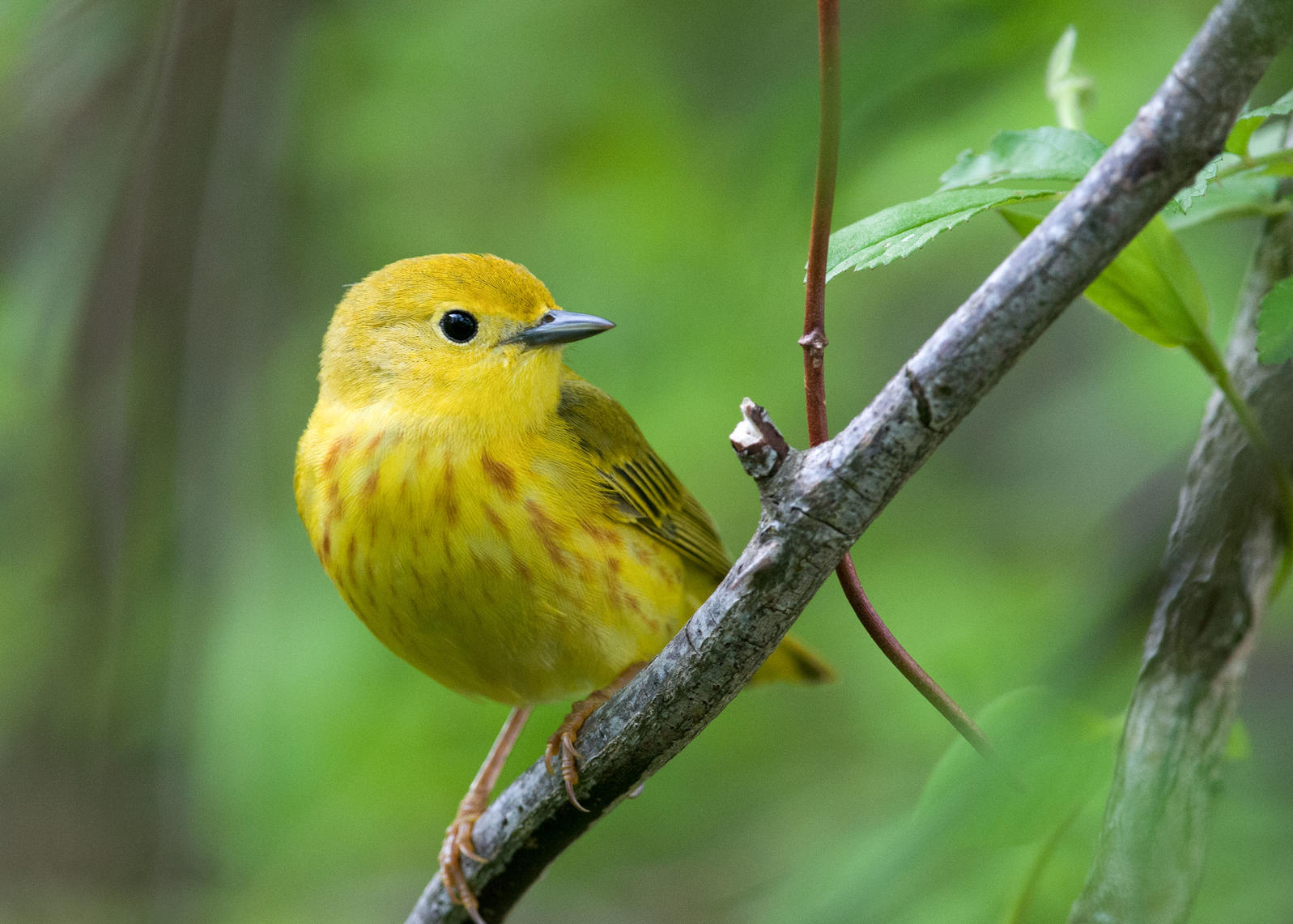 Yellow Warbler. Brian Collier/Audubon Photography Awards