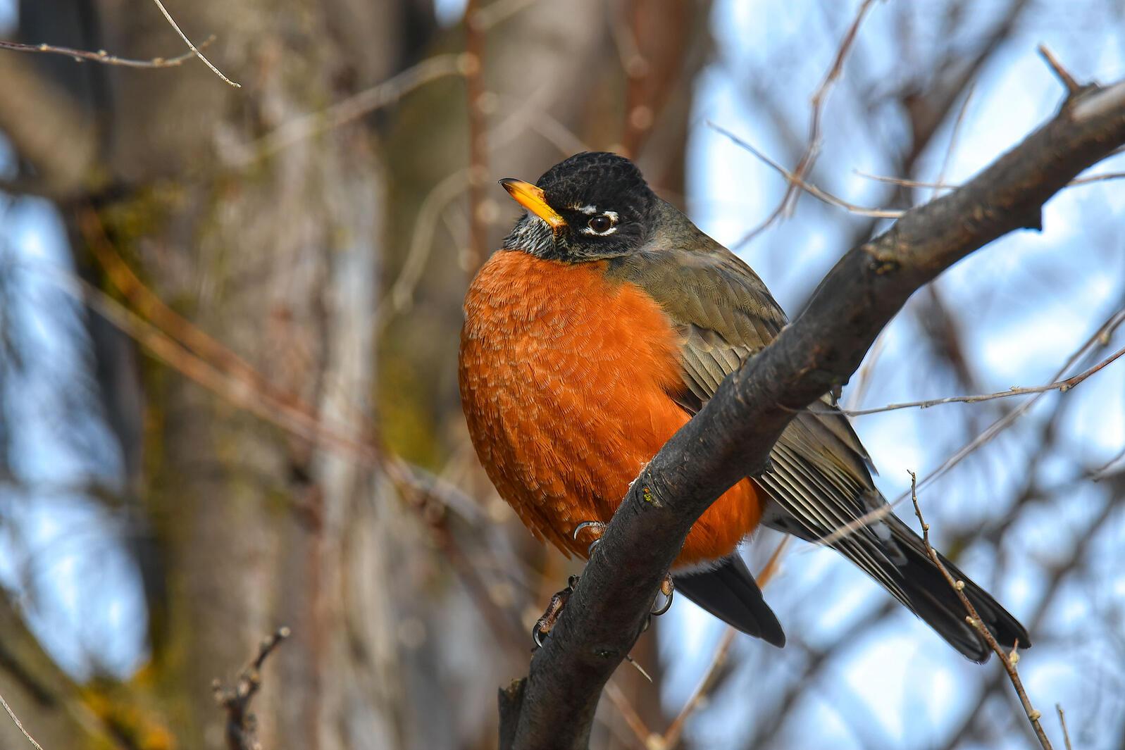 American Robin (very good birb). David Hutson/Audubon Photography Awards