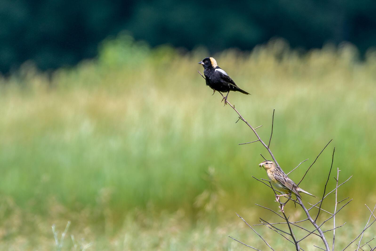 Bobolinks. Jocelyn Anderson/Audubon Photography Awards
