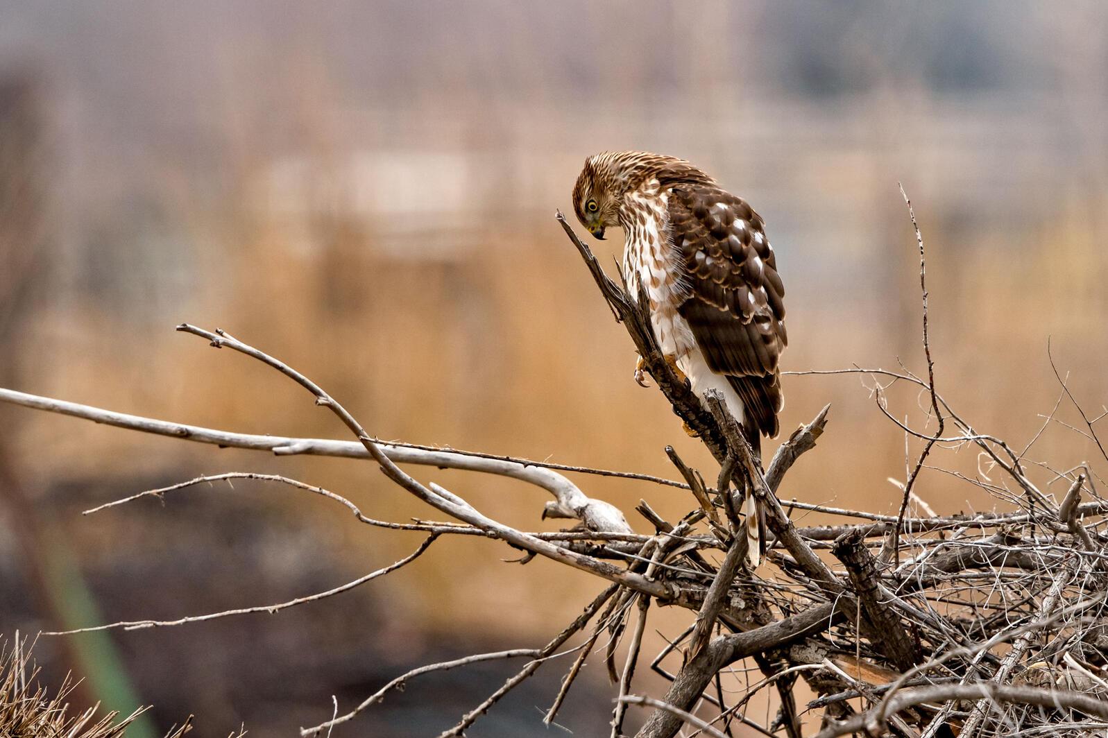 Cooper's Hawk. Marina Schultz/Audubon Photography Awards