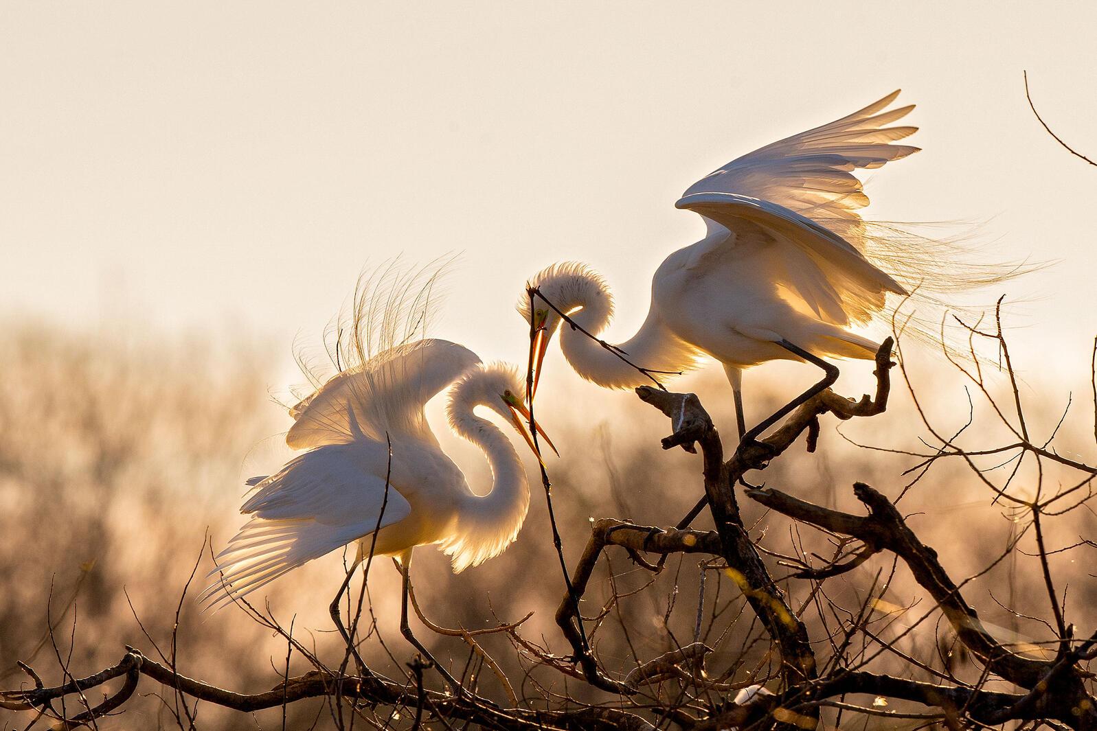 Great Egrets. Tim Timmis/Audubon Photography Awards