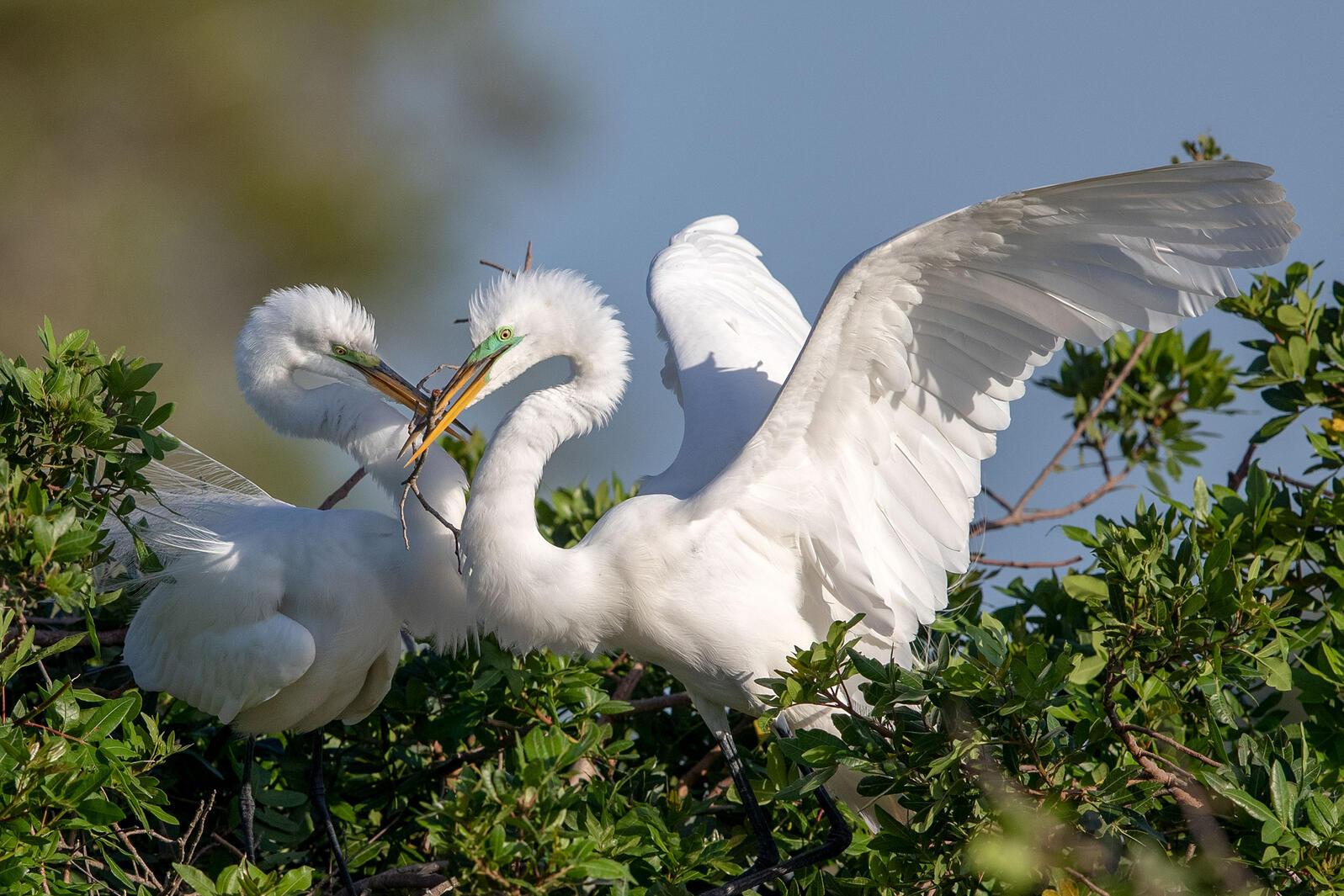 Great Egrets. Hannah Siegel/Audubon Photography Awards