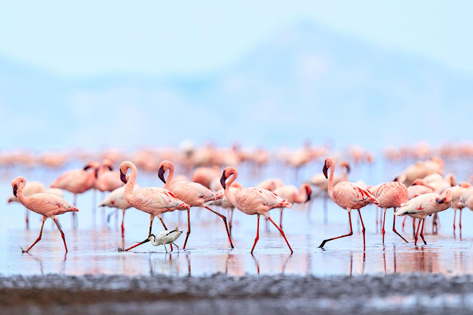 Lesser Flamingos. Wink Gaines/Audubon Photography Awards