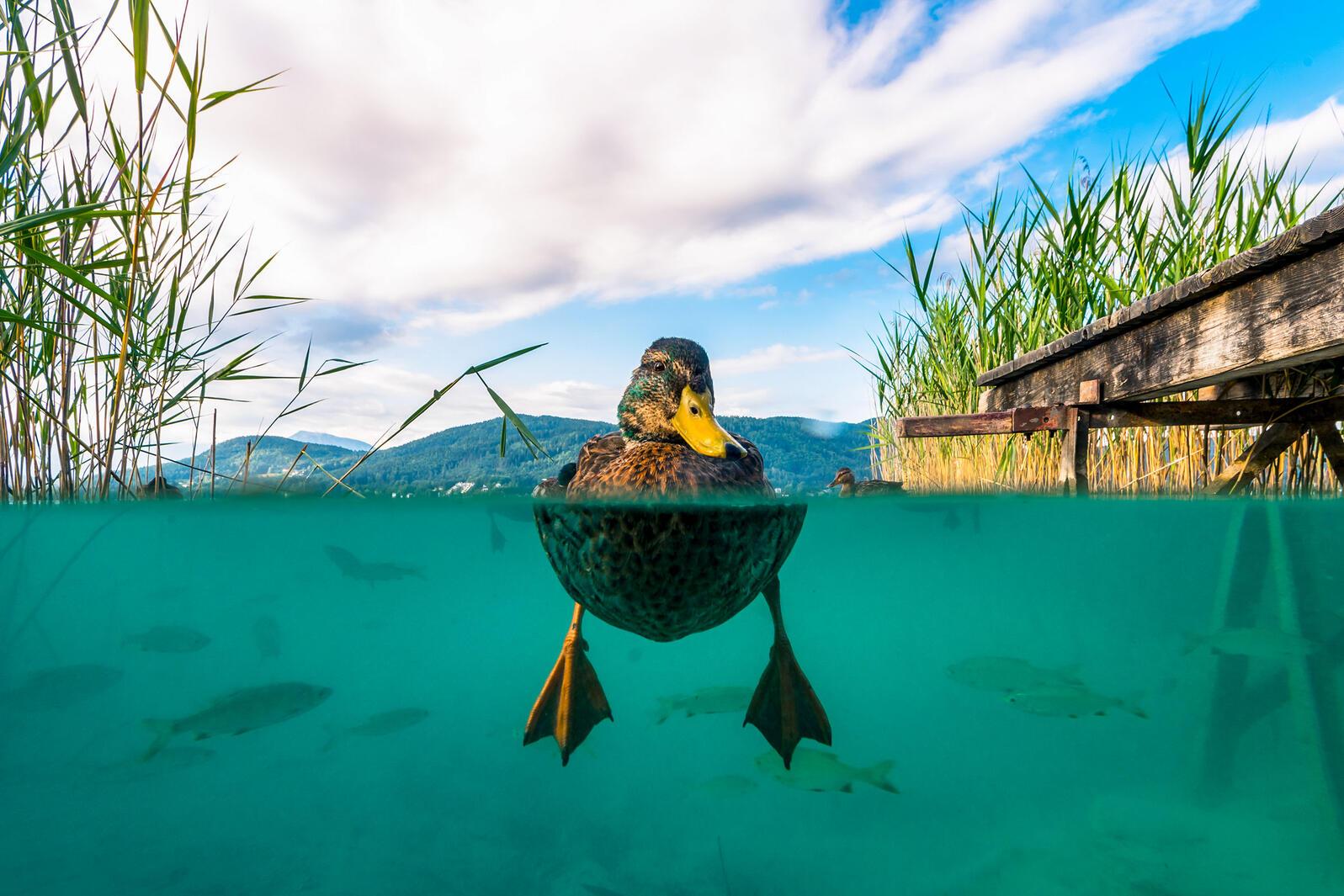 Mallard. Michael Stabentheiner/Audubon Photography Awards