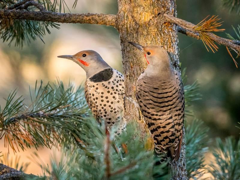 Northern Flickers. Krisztina Scheeff/Audubon Photography Awards
