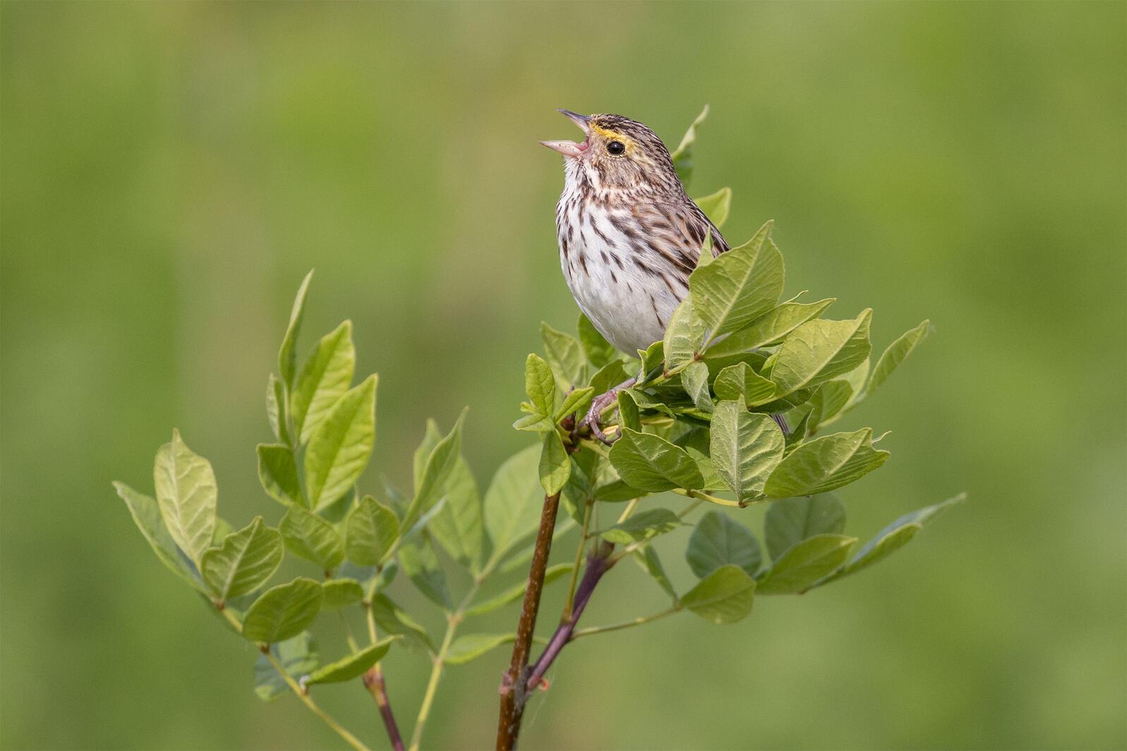 Savannah Sparrow. Susan Holtz/Audubon Photography Awards