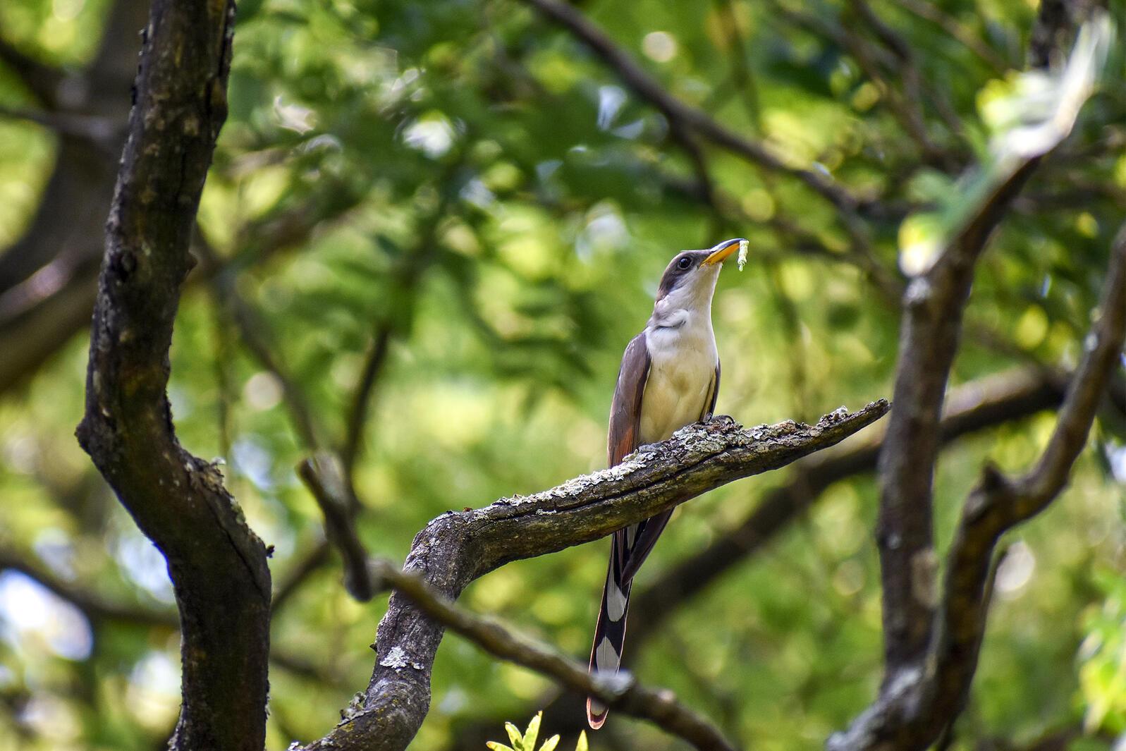 Yellow-billed Cuckoo. Johnny Stutzman/Audubon Photography Awards