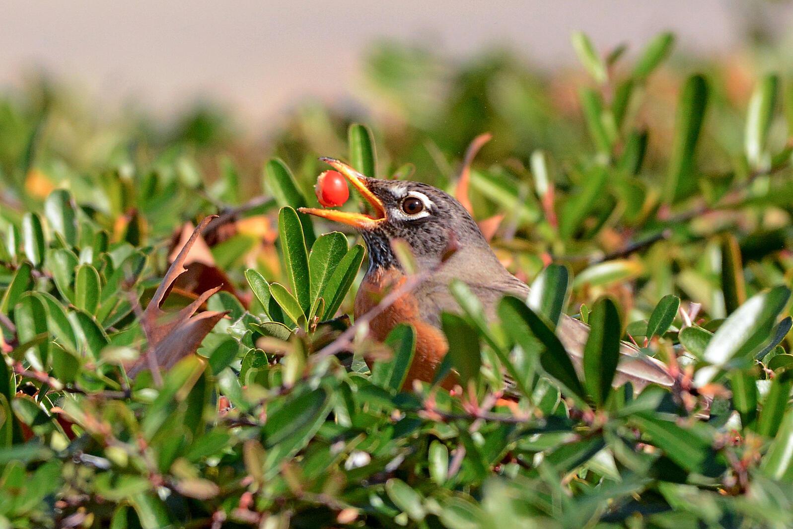 American Robin. Donald Metzner/Great Backyard Bird Count