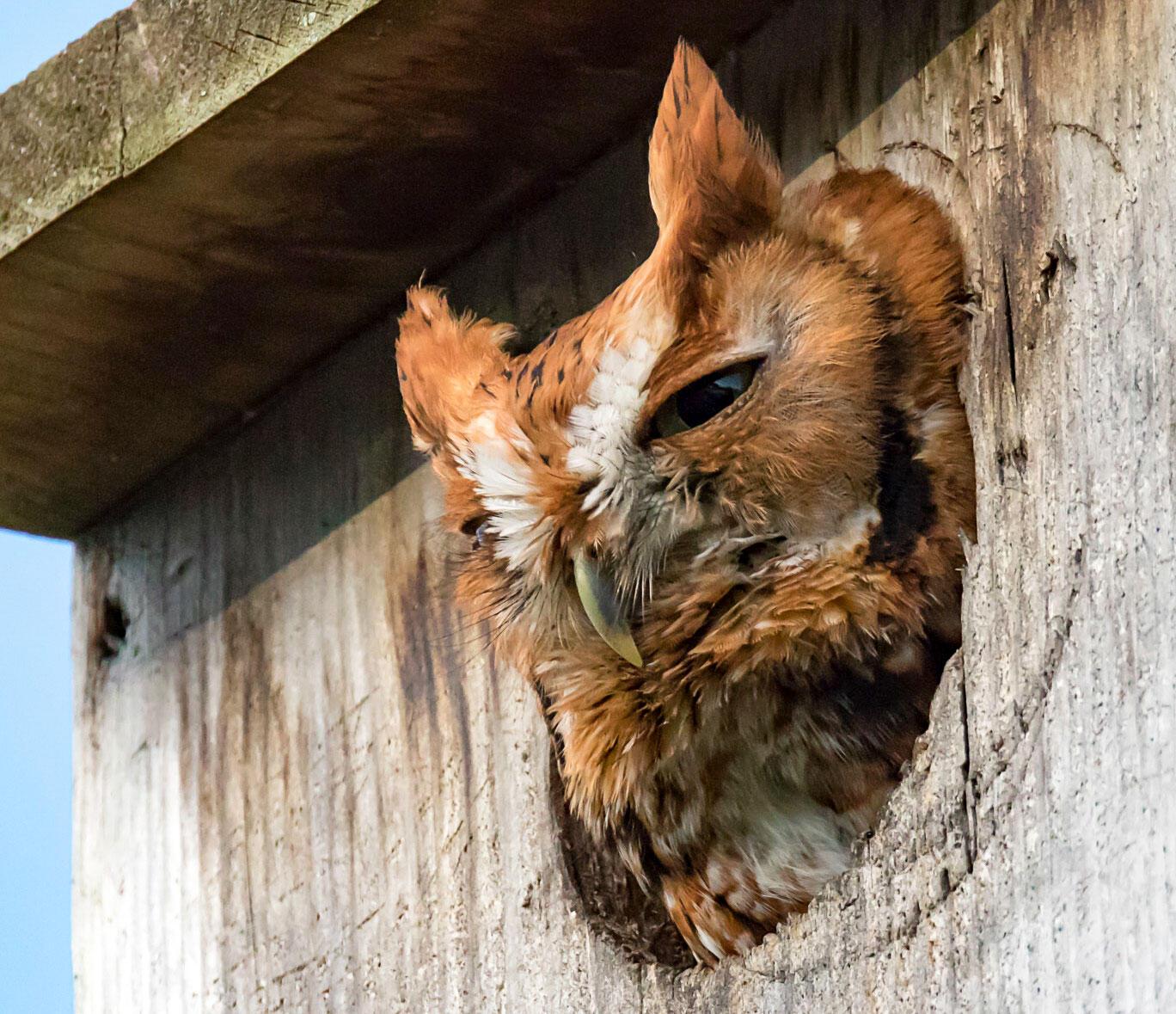 Eastern Screech-Owl. Robert Strickland/Great Backyard Bird Count