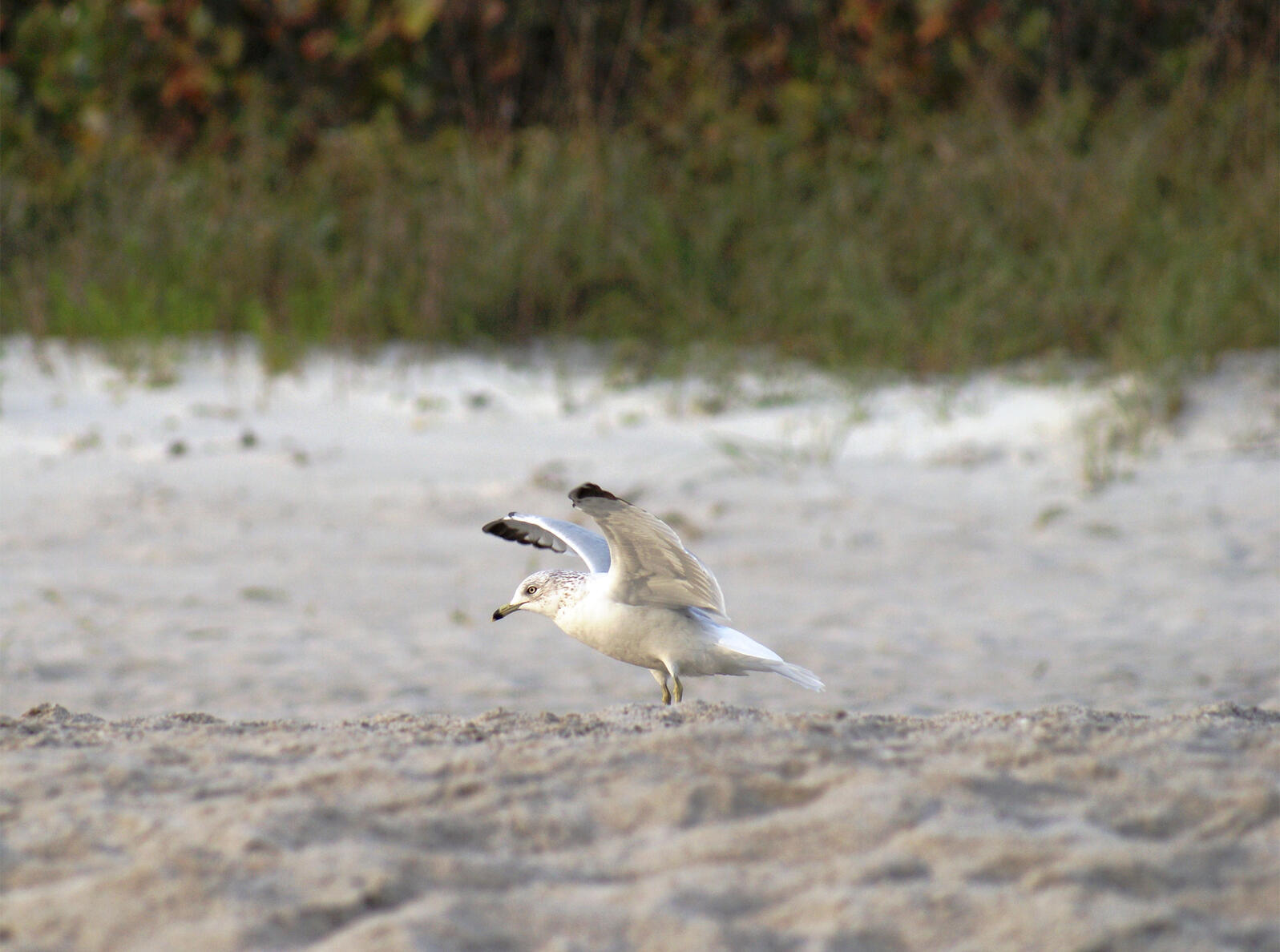 """Simplified tip no. 1: The Ring-billed Gull's """"longish legs and quick, mincing steps differ from"""" the also-common """"Herring Gull's waddle-and-stride style of walking."""" Frances Hudson/Great Backyard Bird Count"""