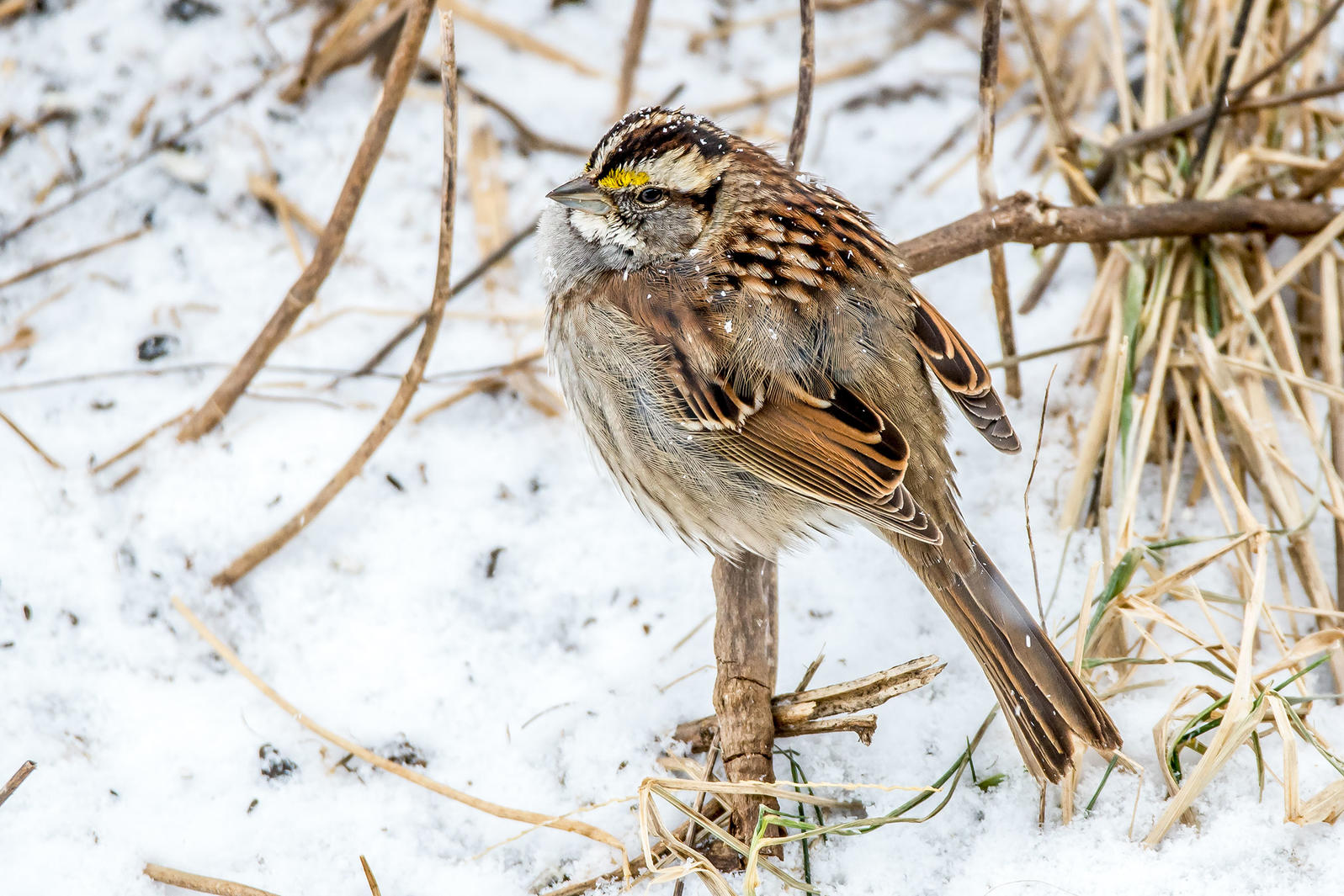 White-throated Sparrow. Laura Frazier/Great Backyard Bird Count