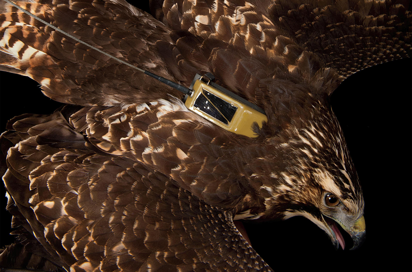 "GPS unit with a mini solar panel on a Swainson's Hawk at Raptor Recovery Nebraska. Transmitter courtesy of Microwave Telemetry Inc. <a href=""https://www.audubon.org/magazine/march-april-2012/unlocking-migrations-secrets"">Joel Sartore</a>"