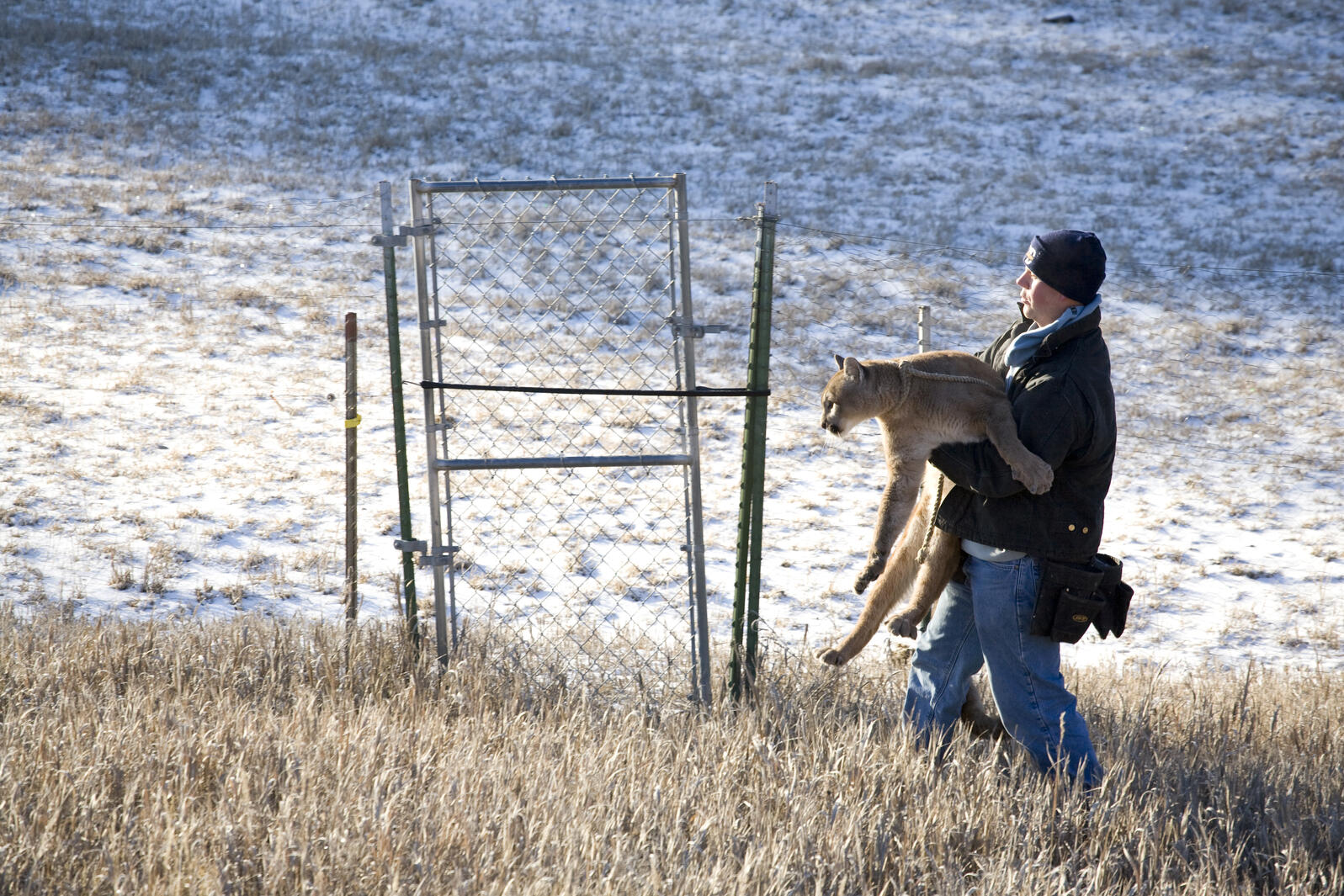 Here, in a game-farm shot you won't see elsewhere, is one of Triple D's cougars. Photograph by Andrew Geiger