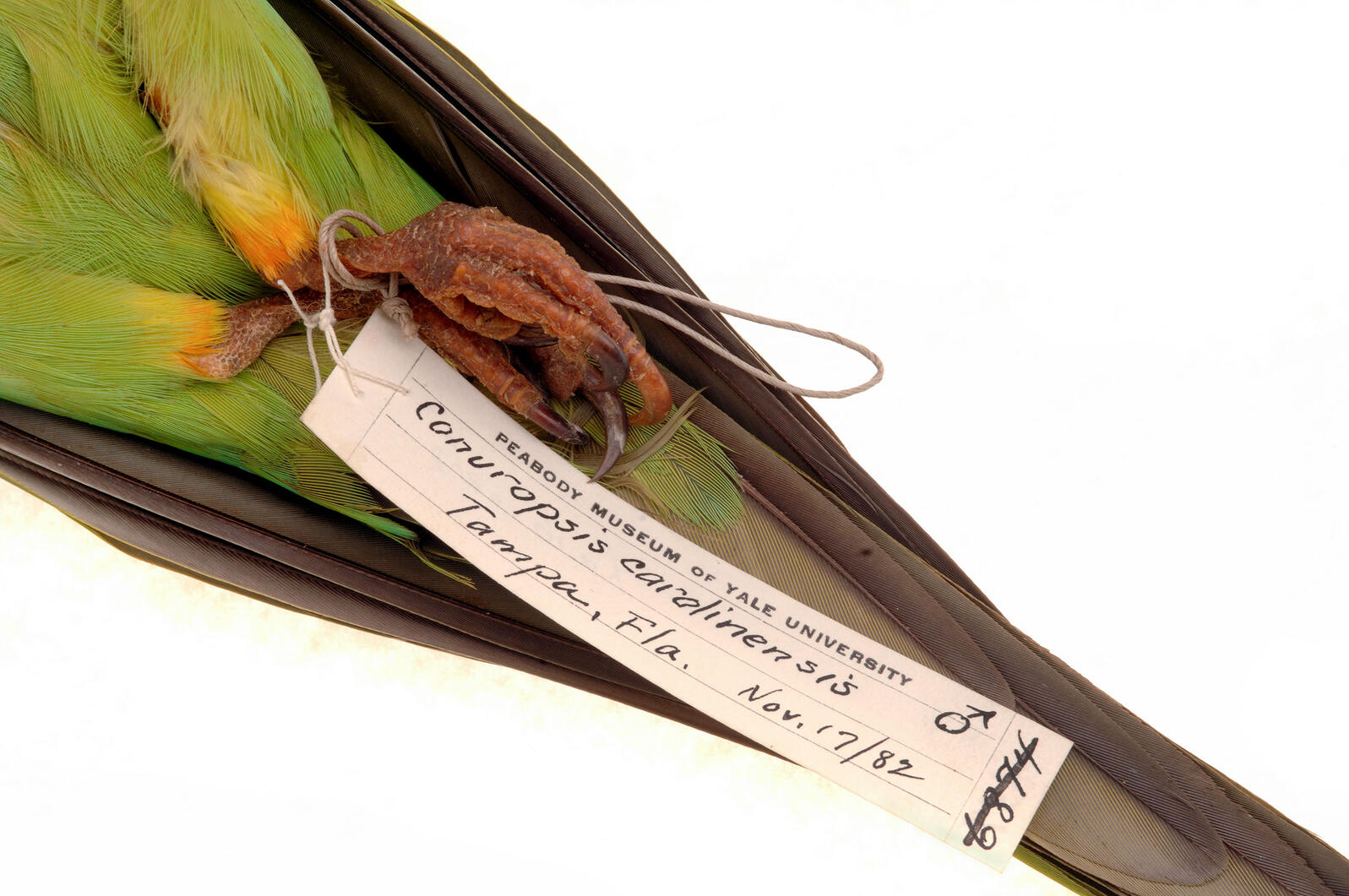 Carolina Parakeet specimen in the Yale University Peabody Museum. Michael Doolittle/Alamy