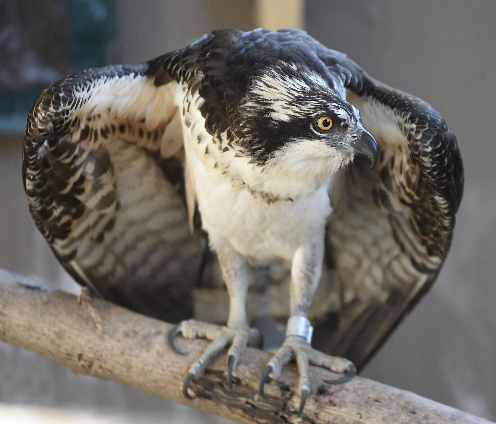 Bailey the Osprey. Terry Heitz/Avian Haven
