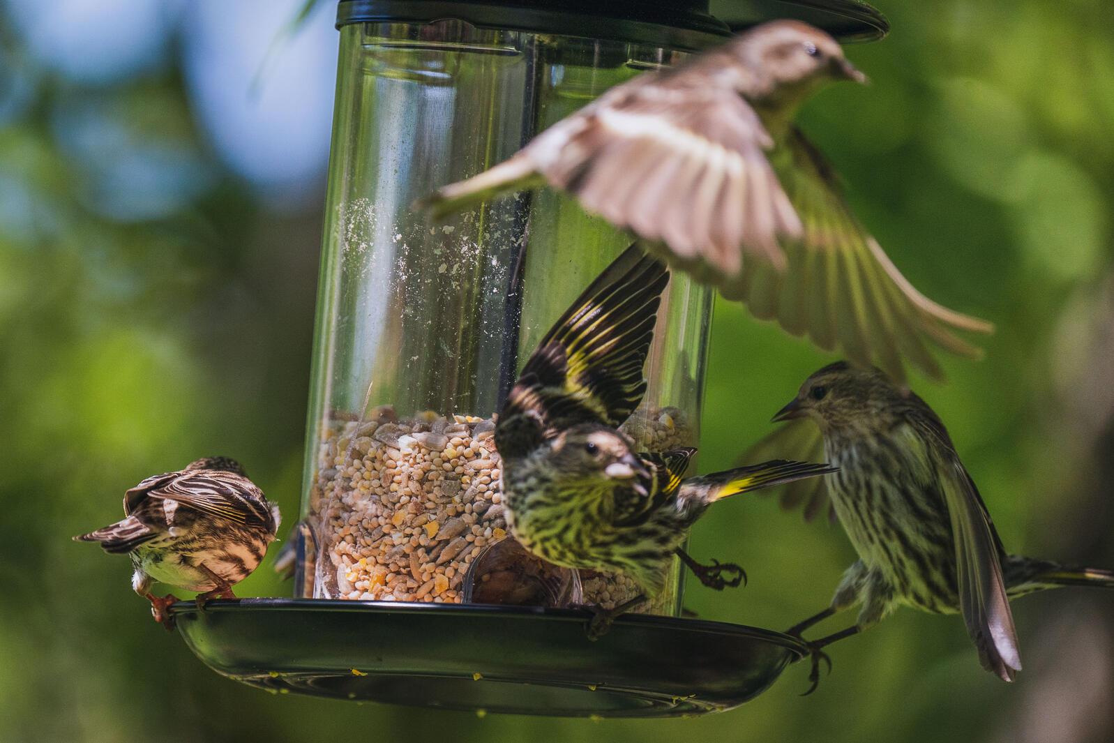 A frenzy of Pine Siskins at a feeder in Oregon. Morgan Heim