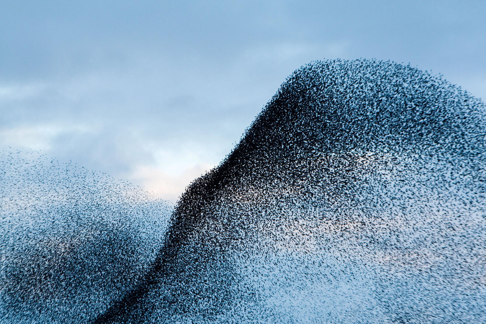 European Starlings. Mark Bretherton/Alamy