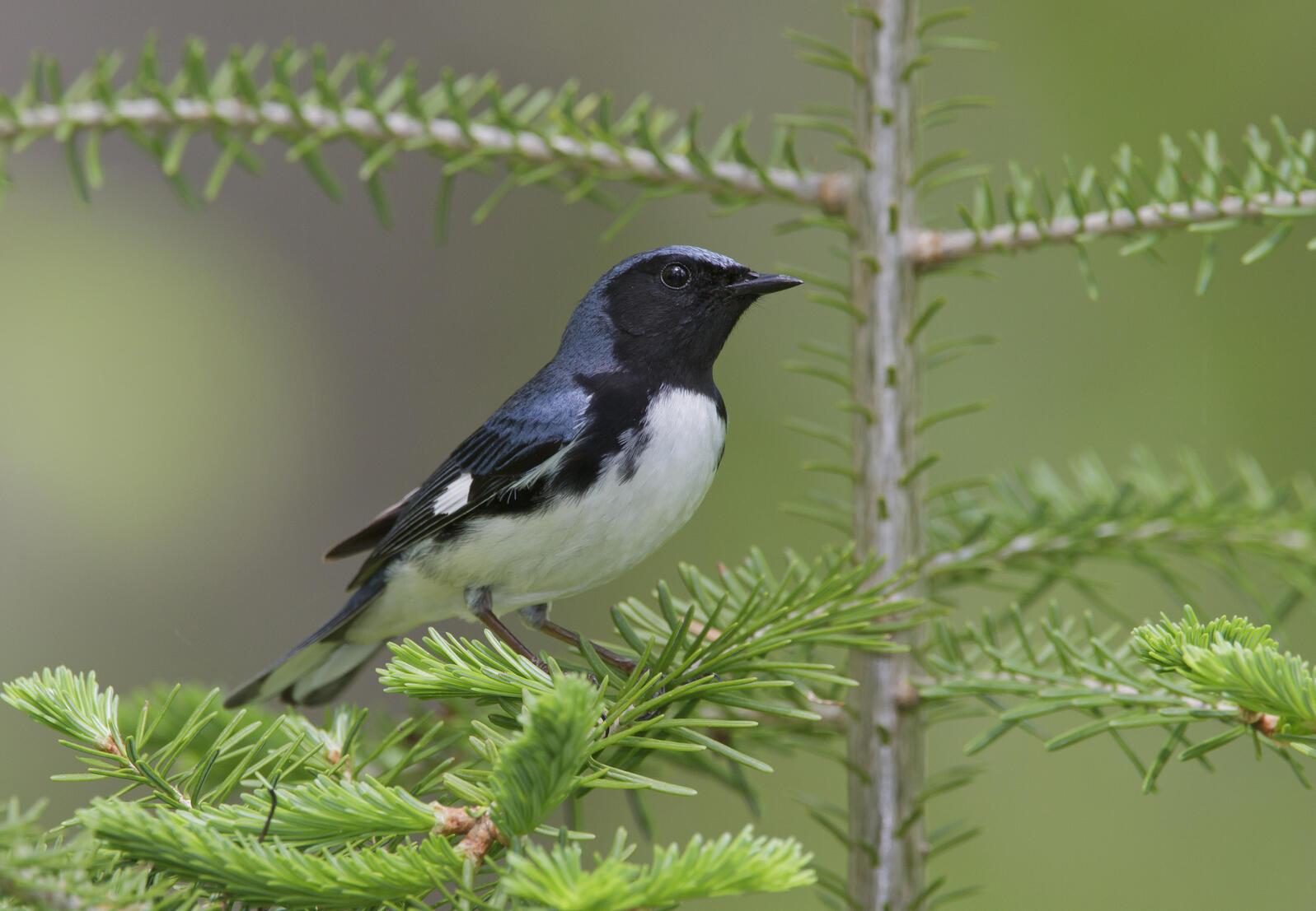 Black-throated blue warbler Robert Royse