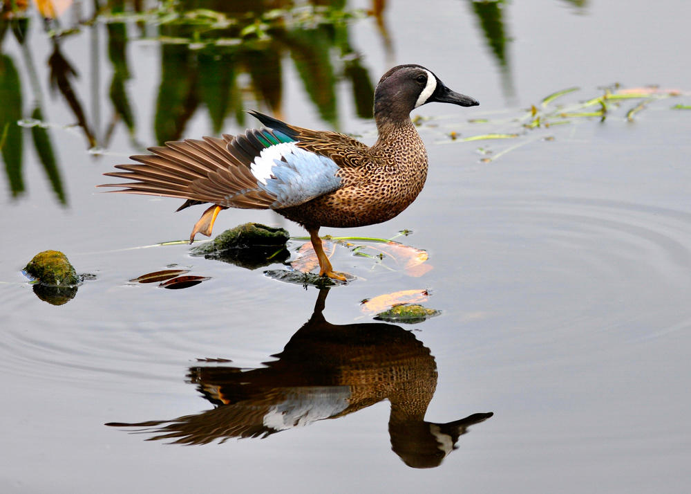 Blue-winged Teal. Photo: Meryl Lorenzo/Audubon Photography Awards