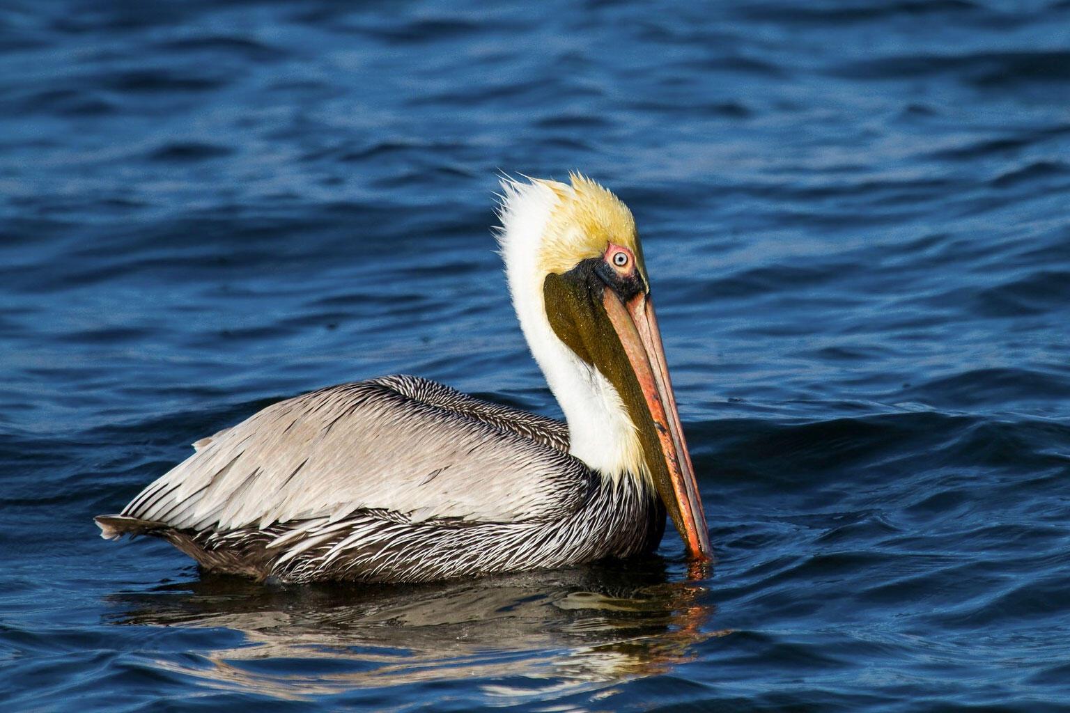 Brown Pelican. Mark Eden/Great Backyard Bird Count